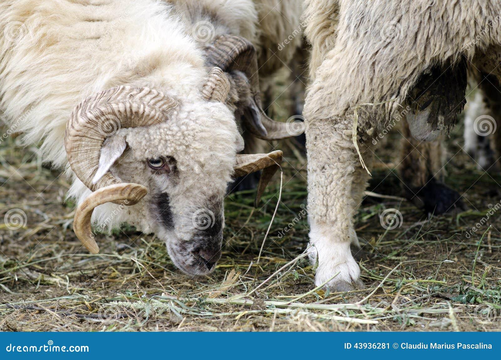 Male sheep stock image. Image of ovine, animal, nature