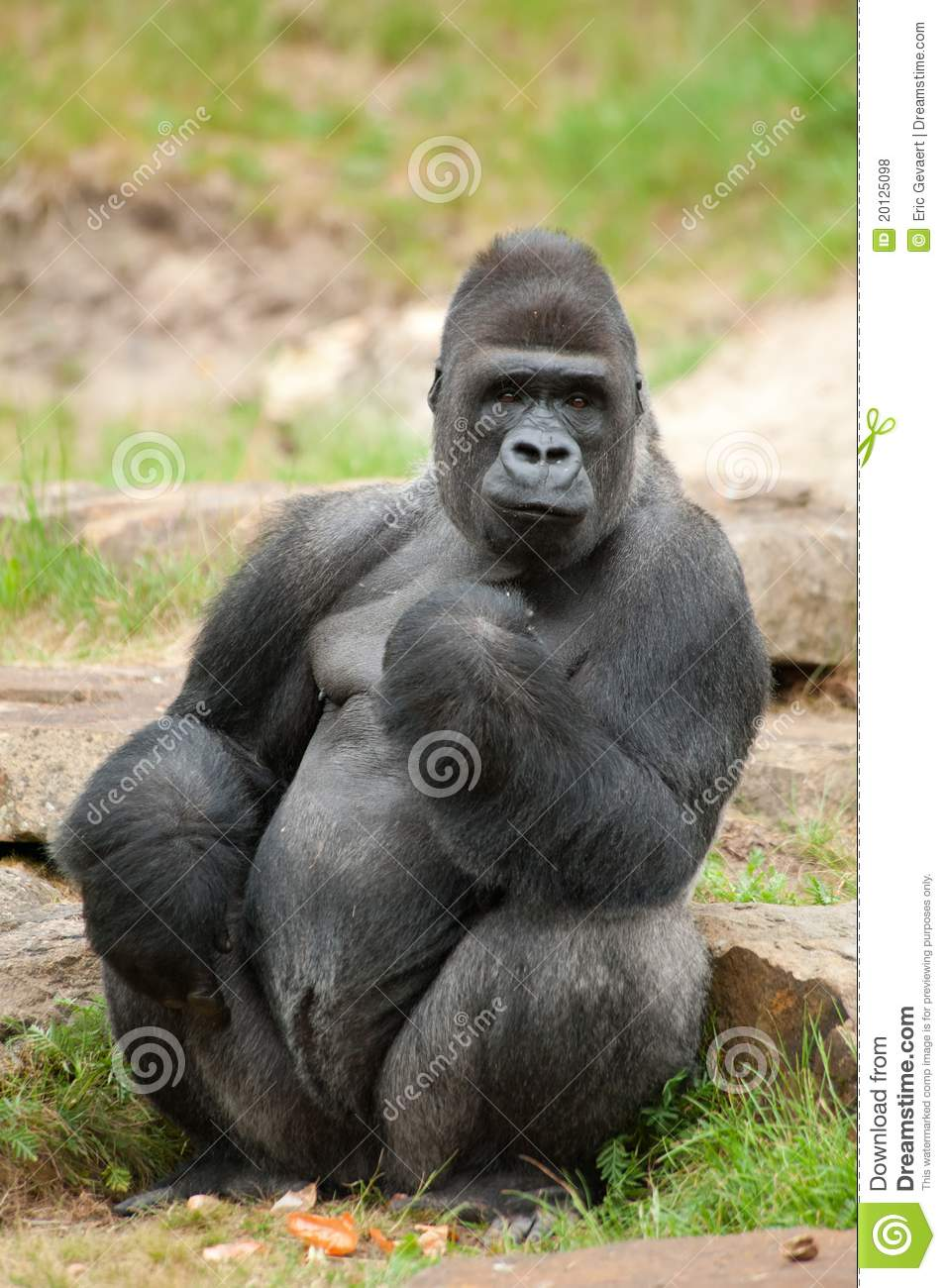 Male Silverback Gorilla Royalty Free Stock Photos - Image: 20125098