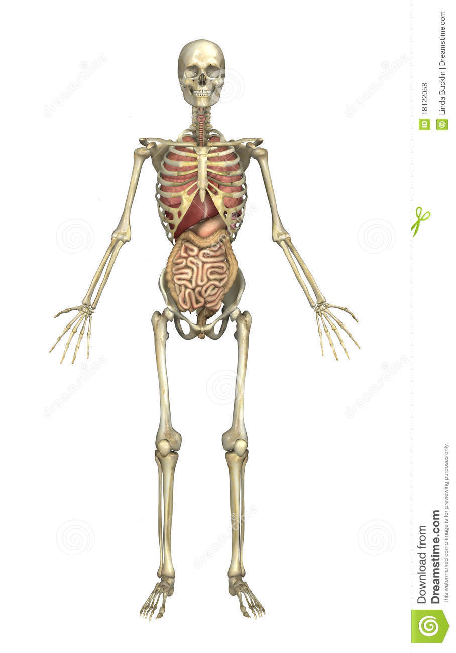 Male Skeleton With Internal Organs Stock Illustration Illustration
