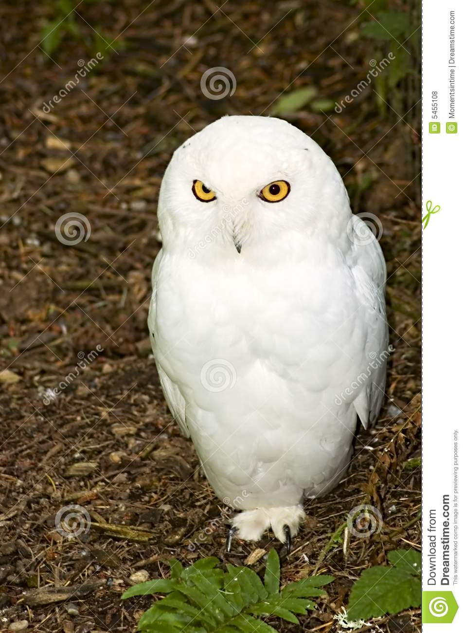 male snowy owl stock photo image of scandiaca brown 5455108