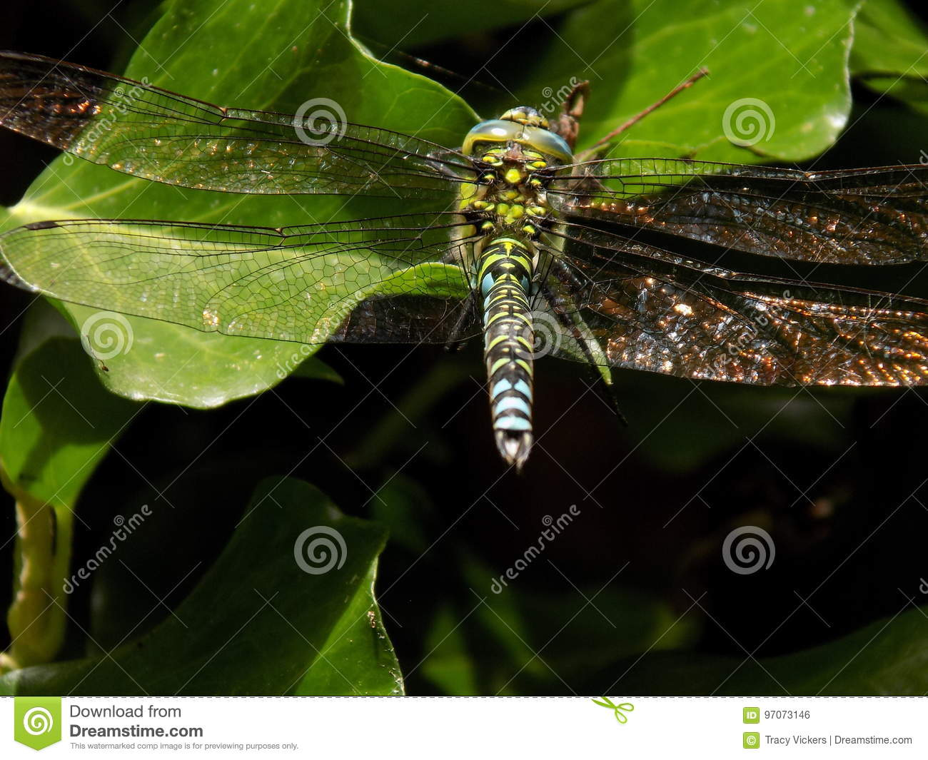 Male Southern hawker dragonfly with glistening outstretched wings