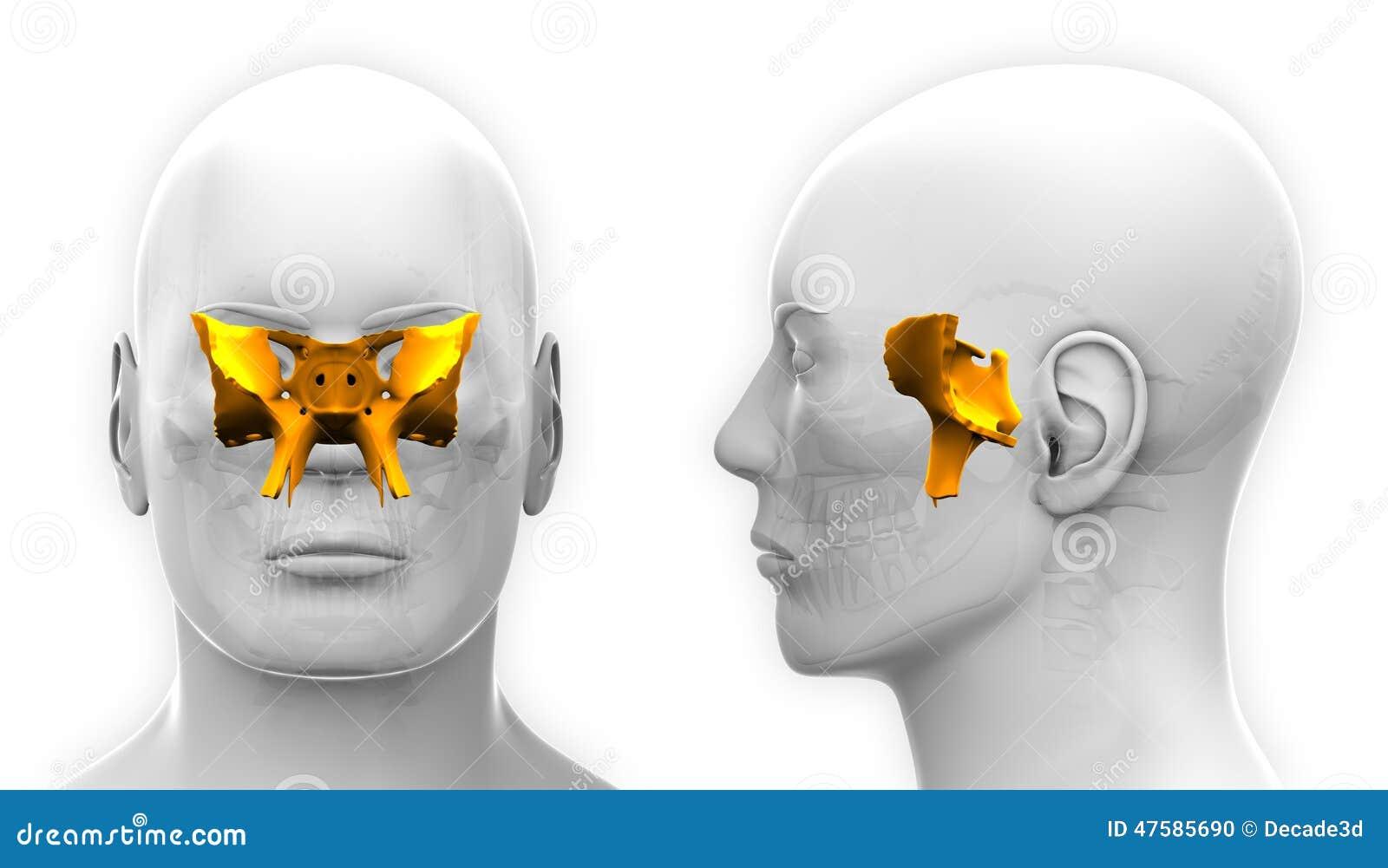 sphenoid bone - skull / cranium anatomy stock illustration - image, Human body