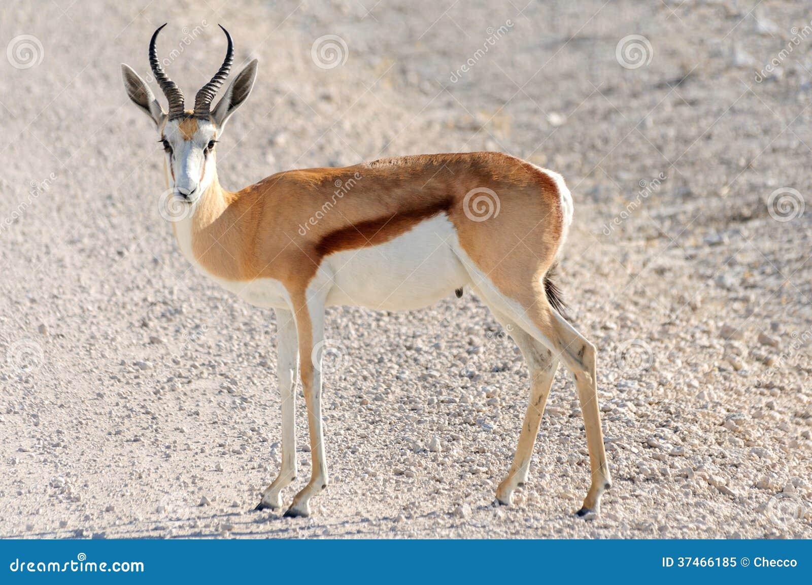 Male Springbok In Etosha National Park, Namibia Stock ...