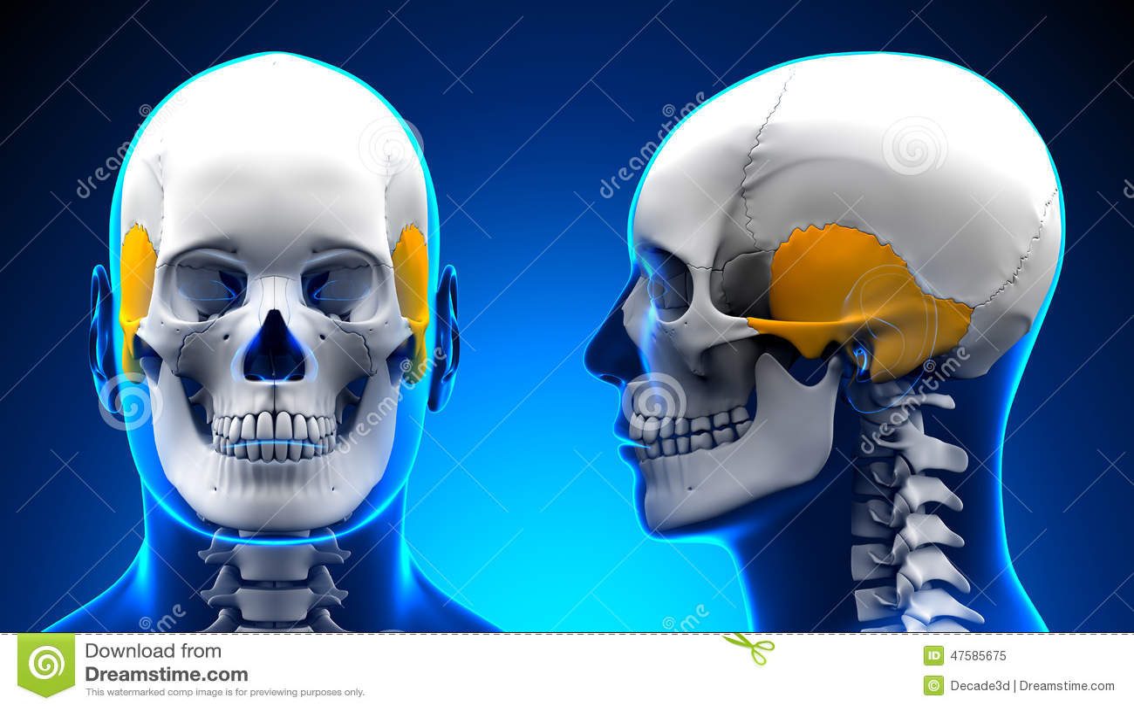 Male Temporal Bone Skull Anatomy - Blue Concept Stock Illustration ...