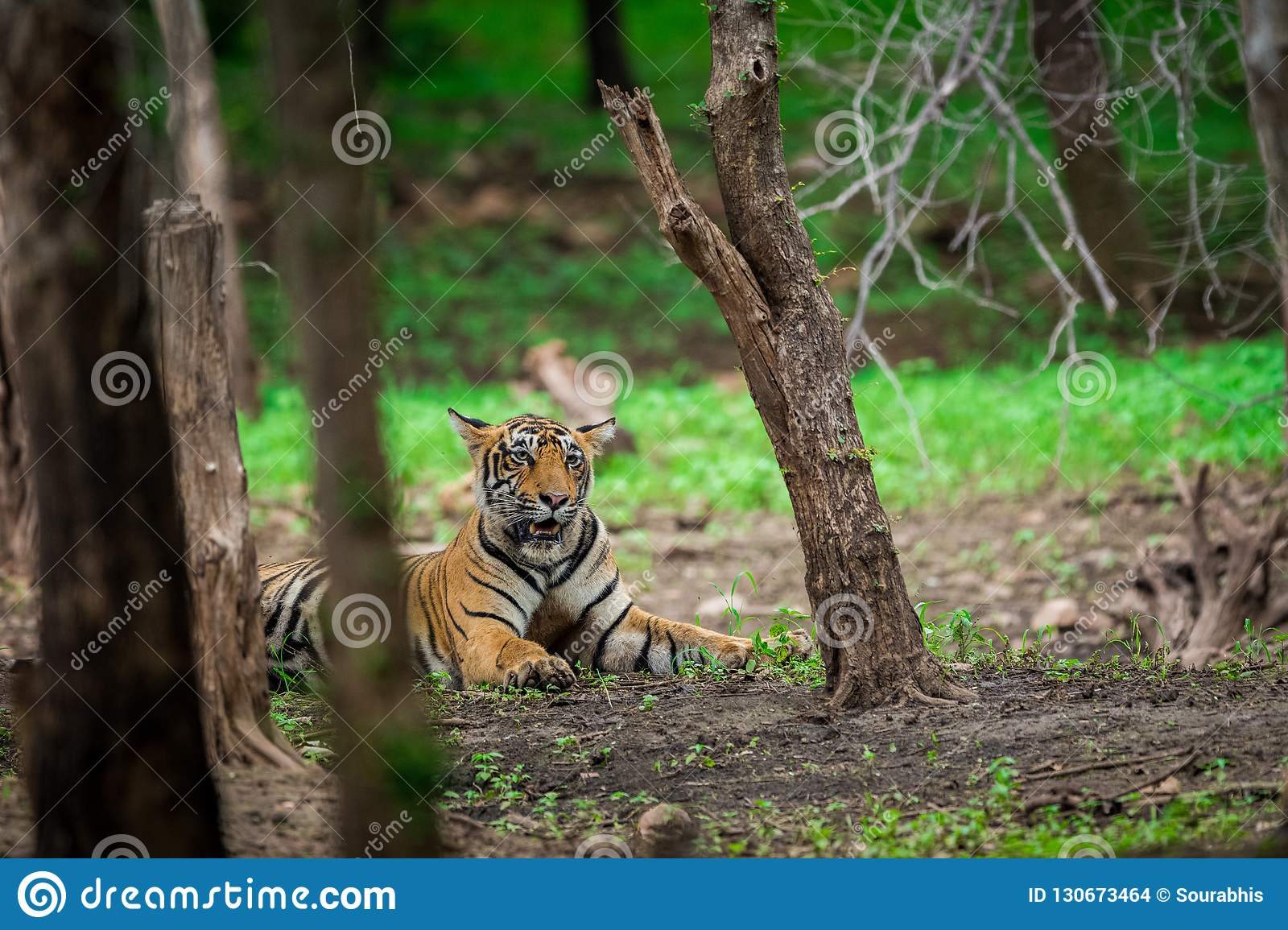 A male tiger cub relaxing in nature when forest converted in a green carpet at ranthambore tiger reserve, India