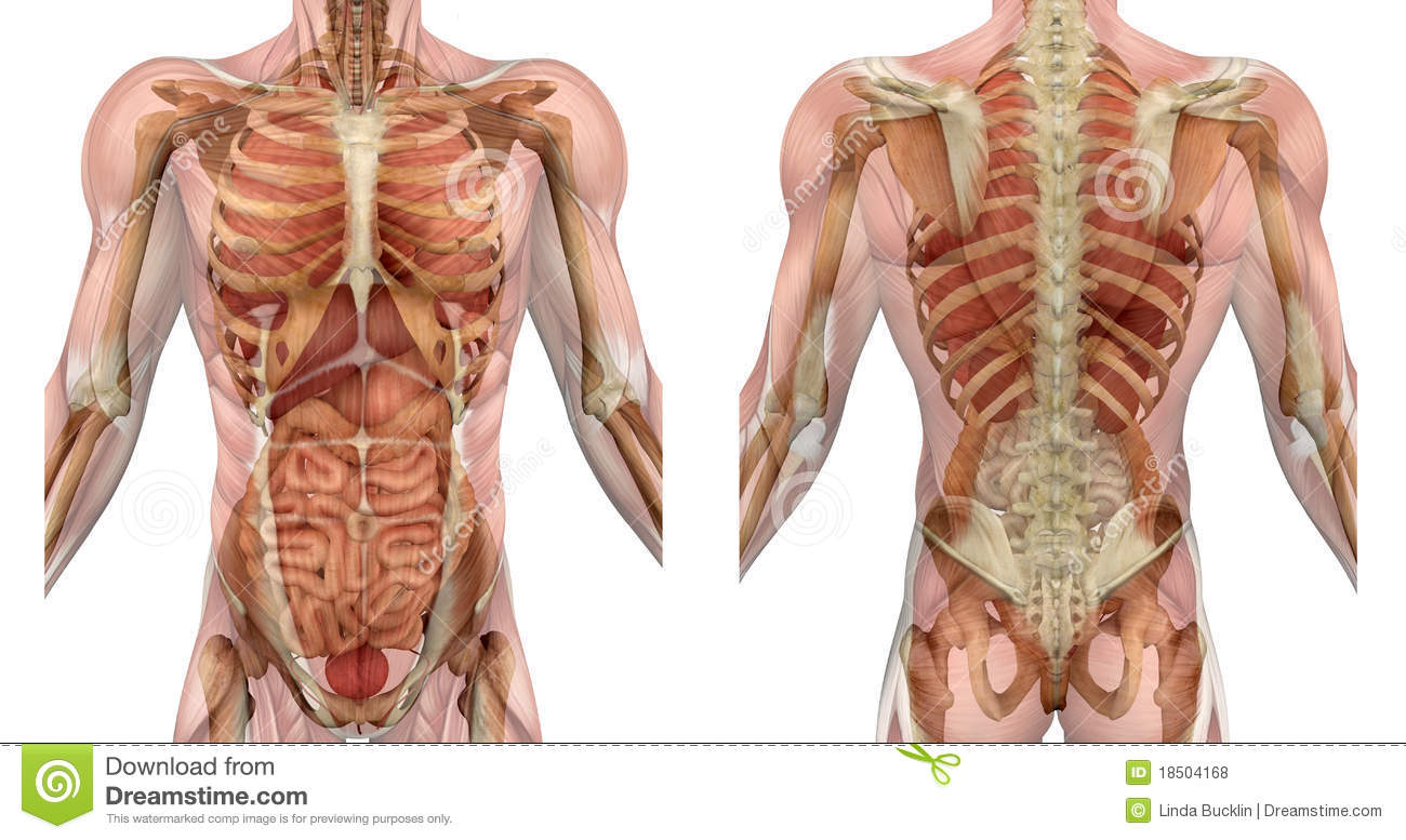 Male Torso Front and Back with Muscles and Organs
