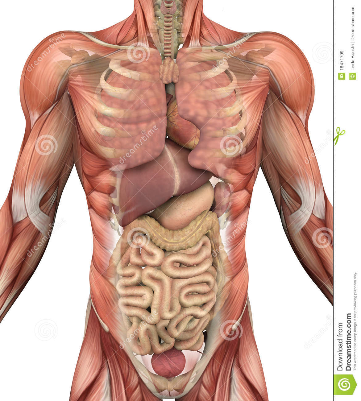 Male Torso With Muscles And Organs Stock Illustration - Illustration ...