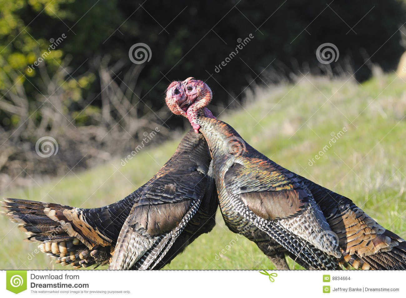 Male Turkey Fighting Stock Images Image 8834664