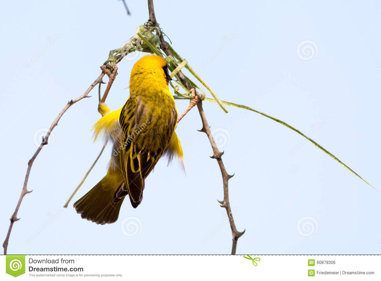 Male Weaver Bird Building A Nest Of Grass In The Tree Stock Photo
