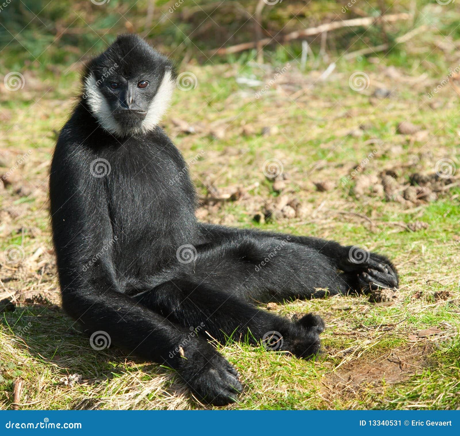 Male White-cheeked gibbon