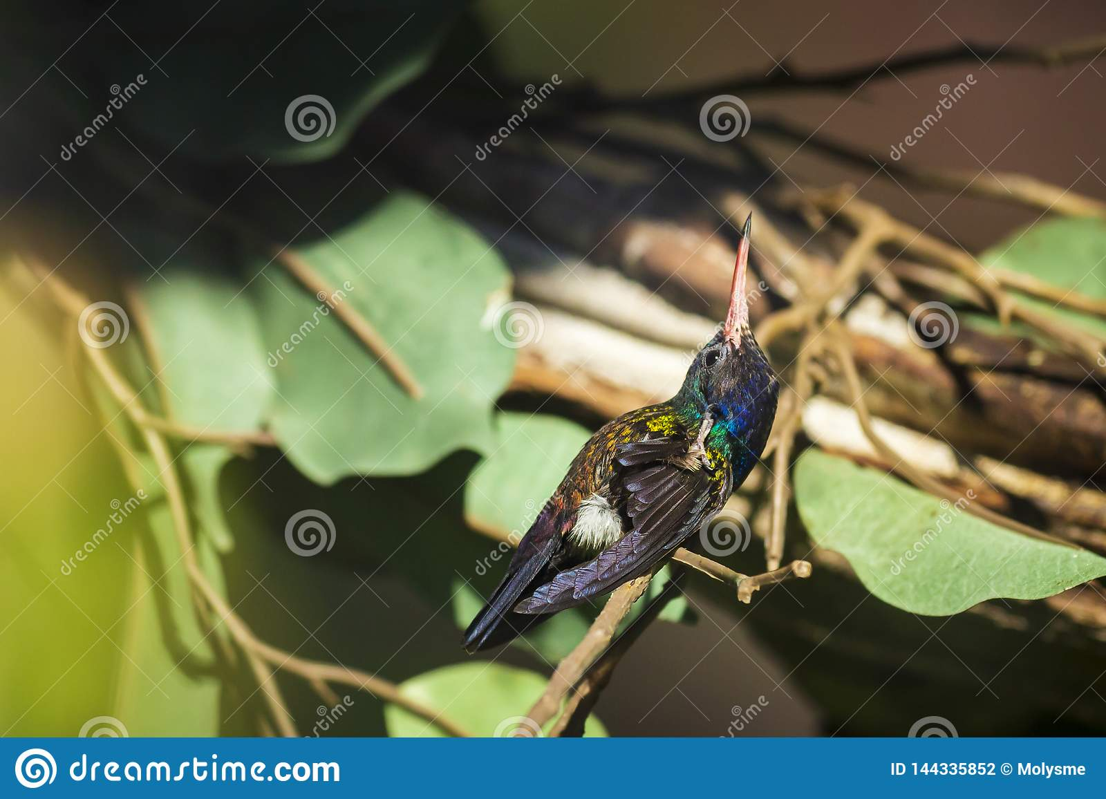 Male white-chinned sapphire Hylocharis cyanus, hummingbird perched on a branch