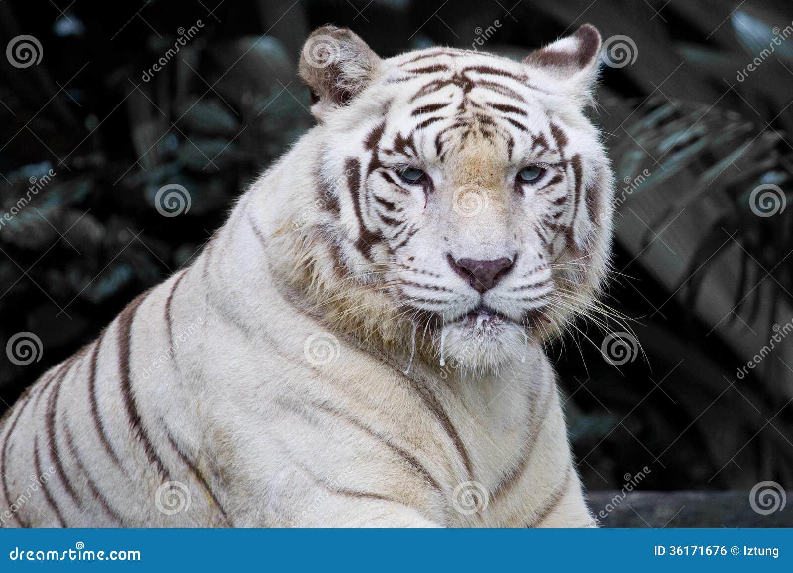 Fierce Tiger Eyes