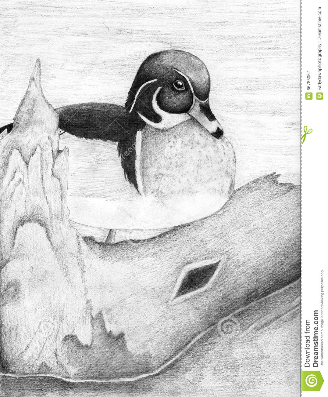 Wood duck drawing black and white pictures to pin on