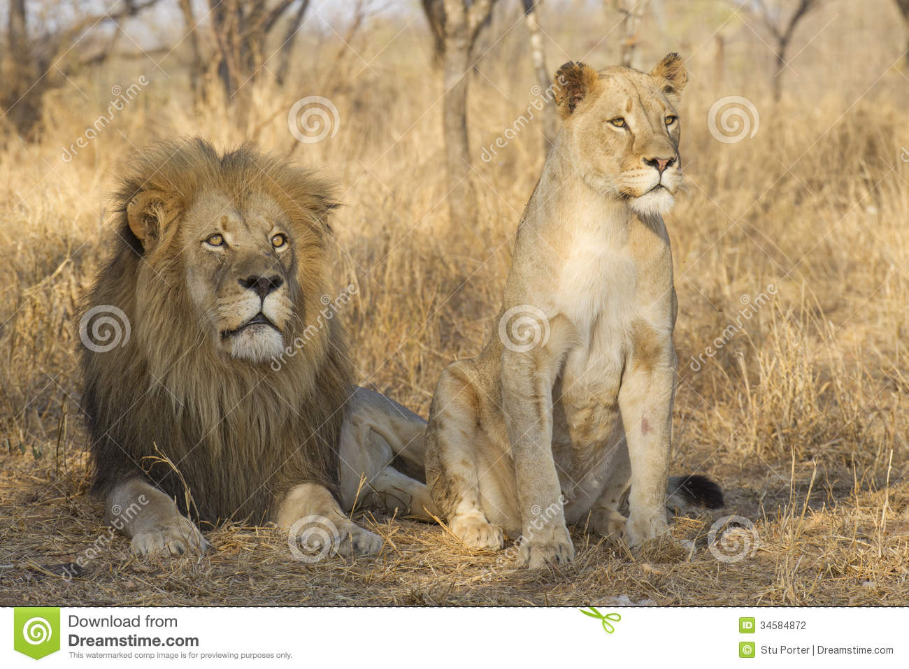 Male And Young Female African Lion, South Africa Stock Photography ...