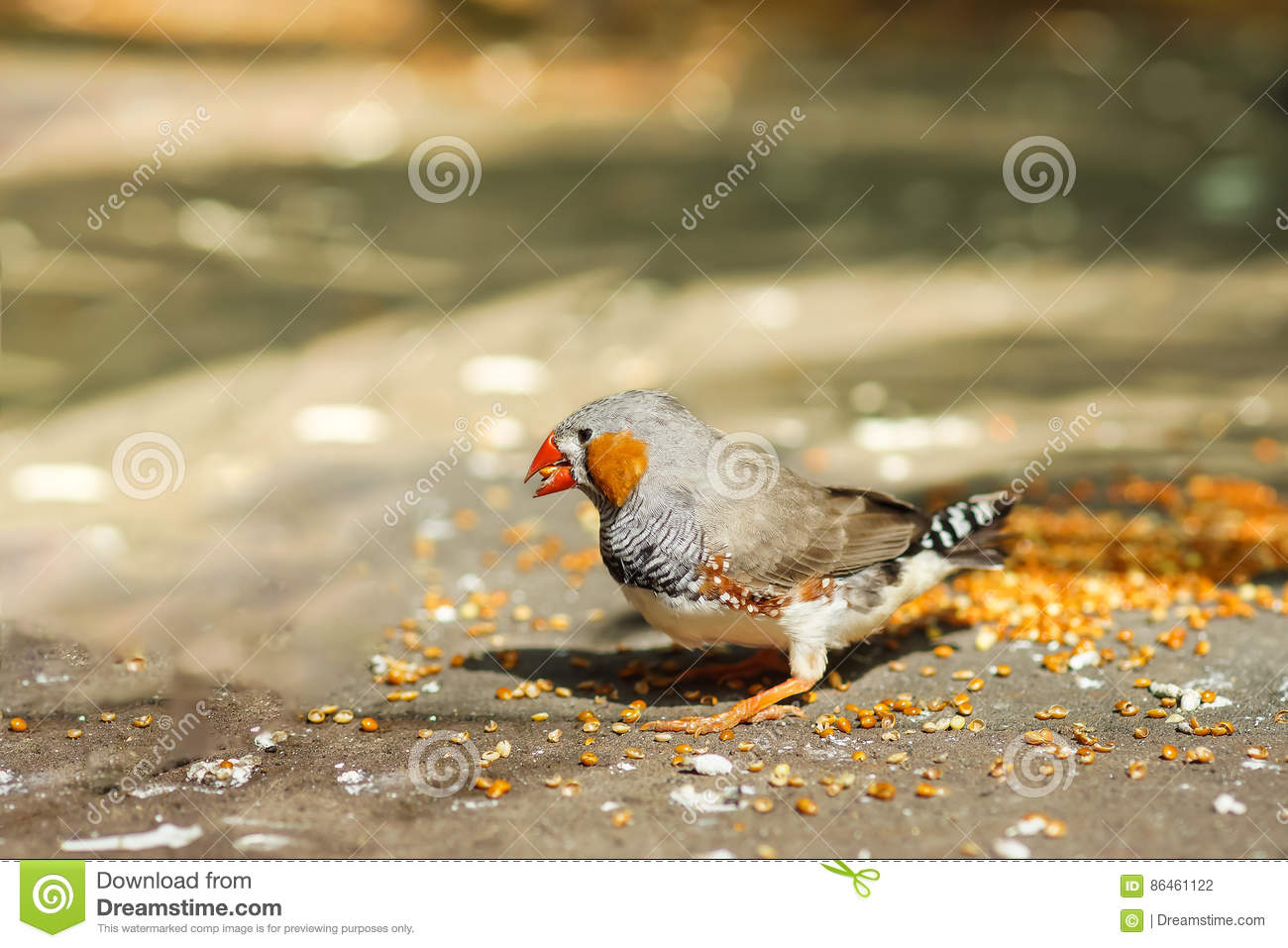 Male Zebra finches lat. Taeniopygia guttata is a bird of the family of finches weaverbirds - eating millet.