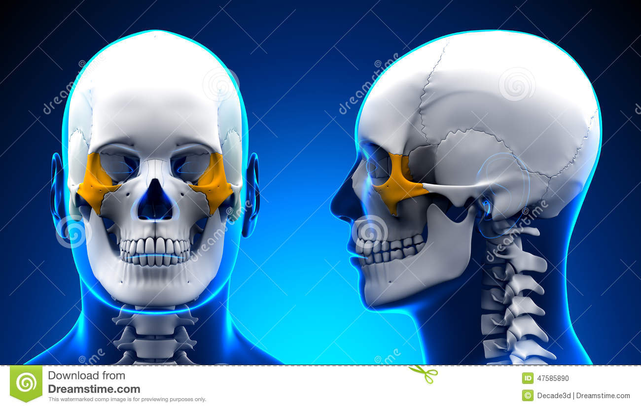 Male Zygomatic Bone Skull Anatomy - Blue Concept Stock Illustration ...