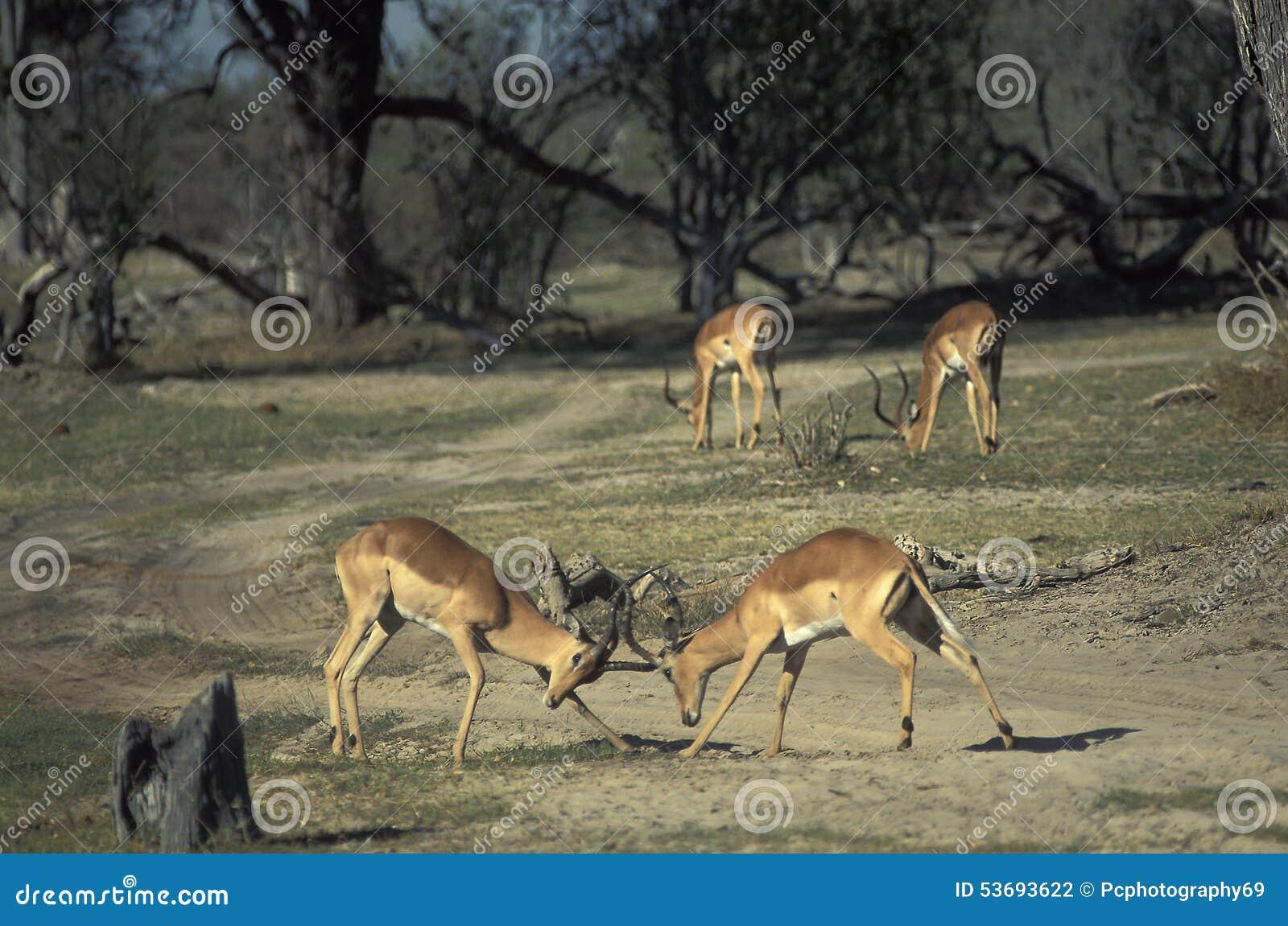 Males of impala gazelles fighting, Botswana.