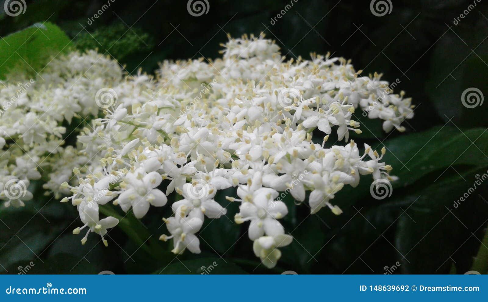 Mali delikatni kwiaty elderberry maluj?cy biel