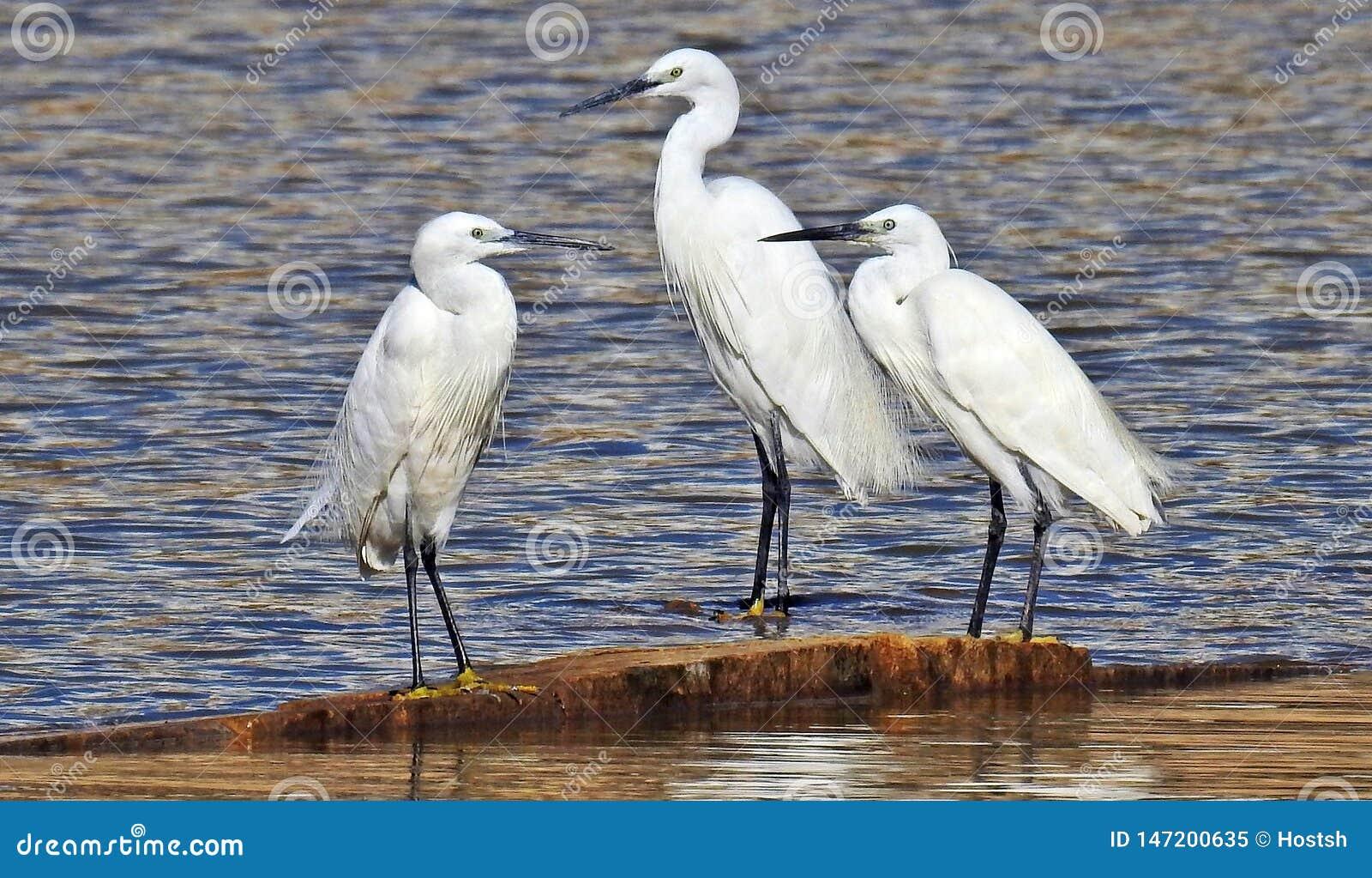 Mali Egrets na wody krawędzi