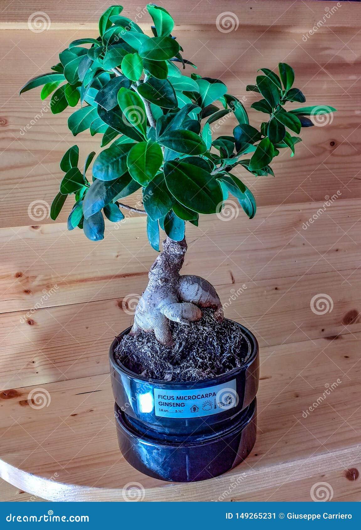 Mali ginseng bonsai teraz w Europa są wiele sklepy które sprzedają je tam bonsai jako ornamentacyjna roślina robi swój pracie
