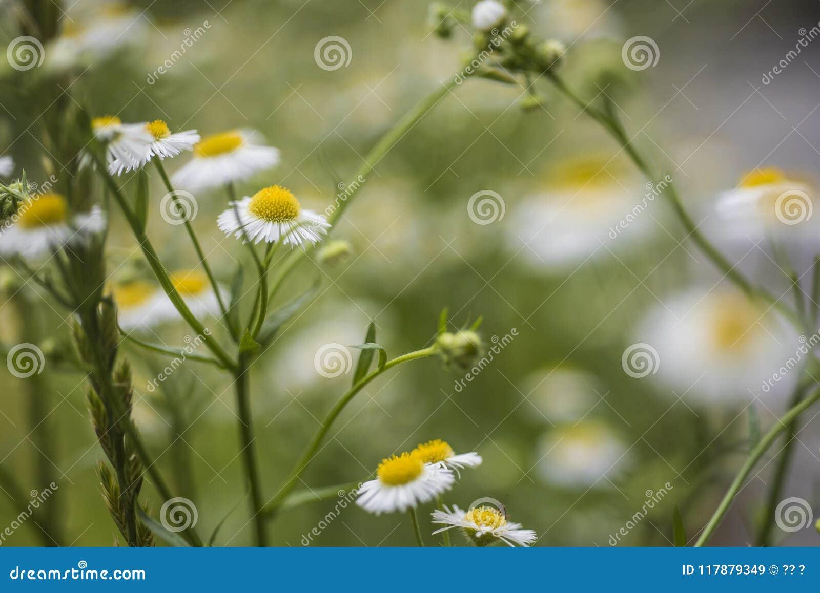 Mali kwiaty, roczniak Peng