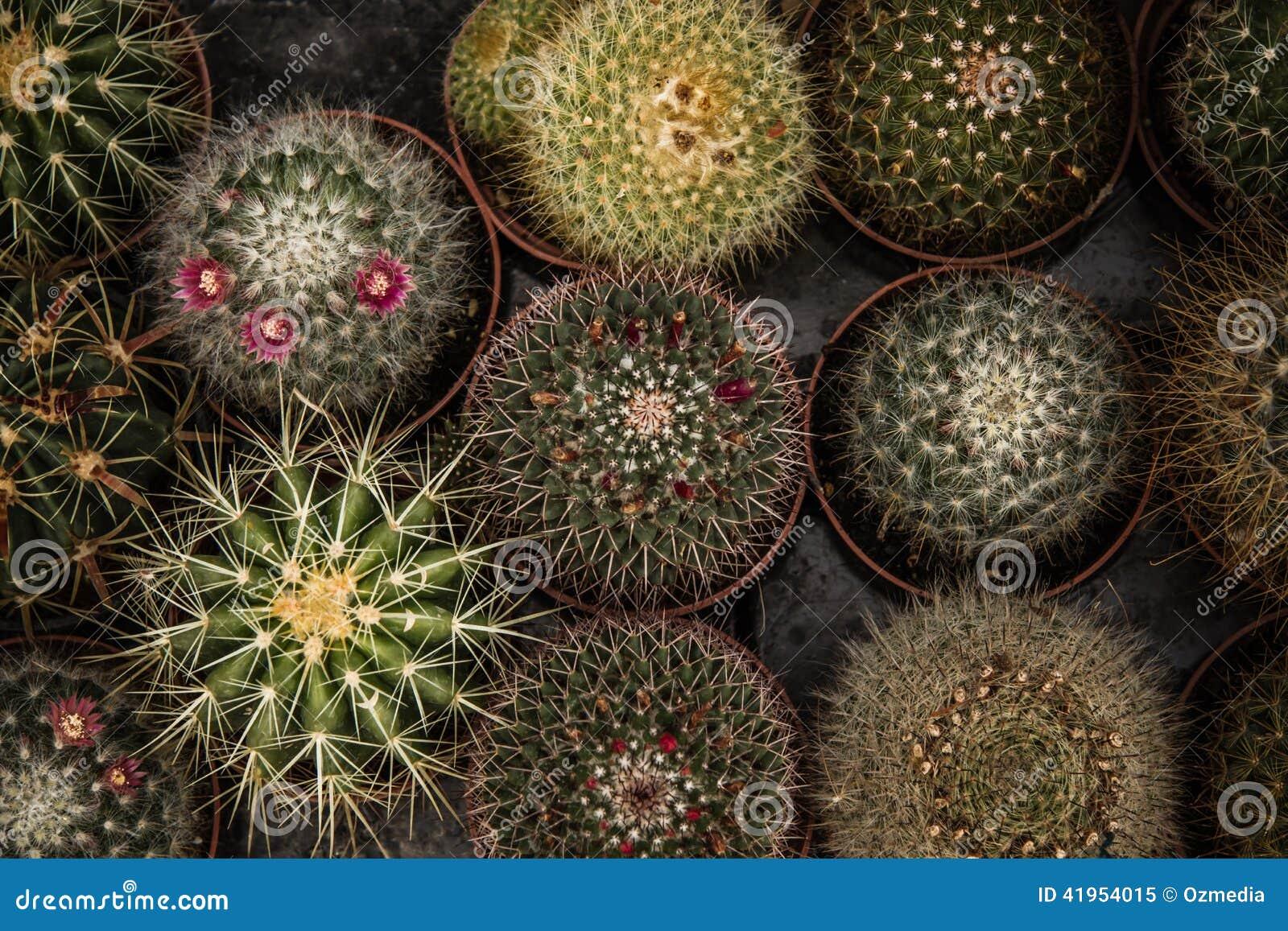 Mali Zieleni kaktusy