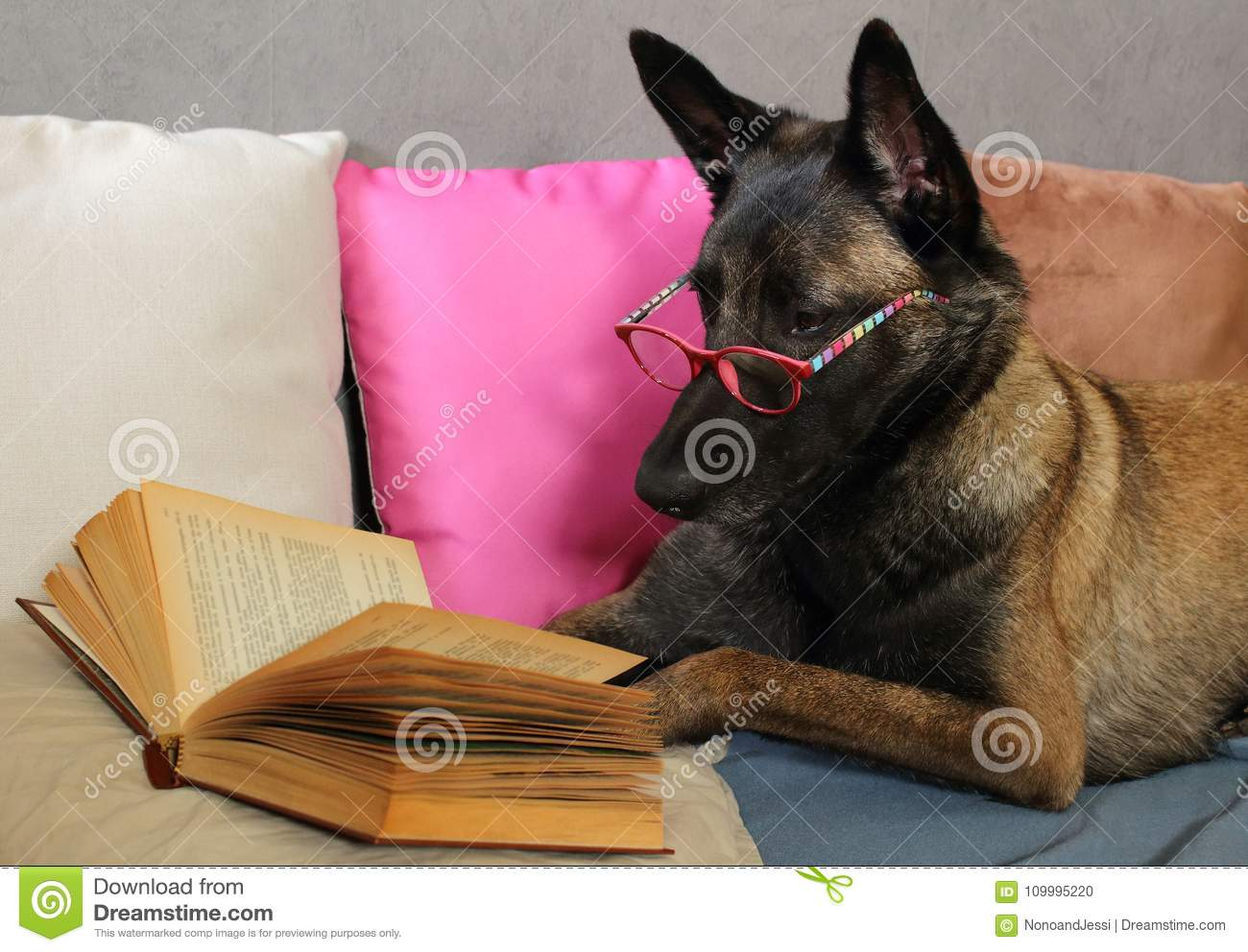 Malinois Belgian Sheepdog reads a book with a pair of glasses on the muzzle lying on cushions in cocooning mode
