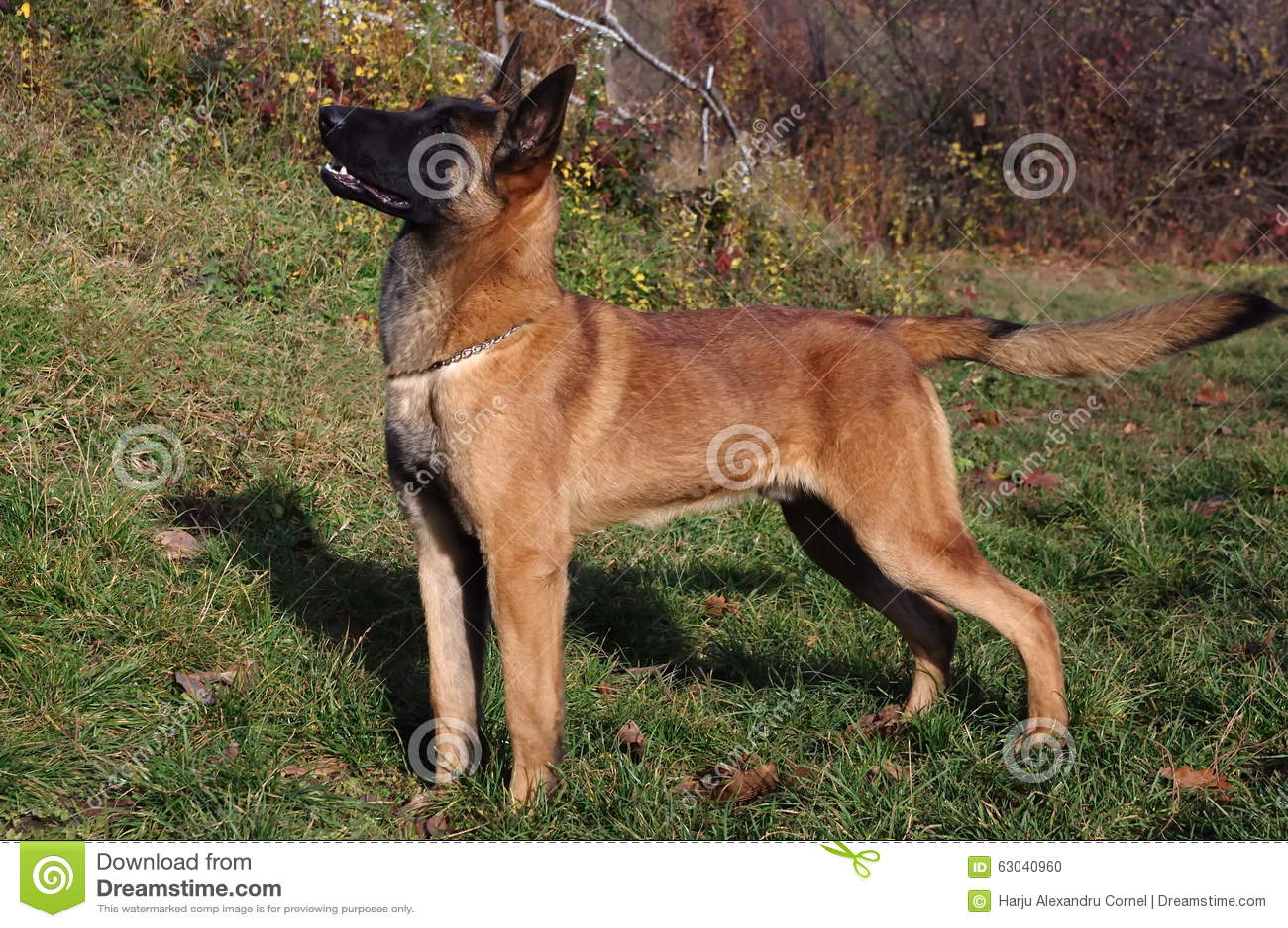 Malinois - belgisk herde Dog