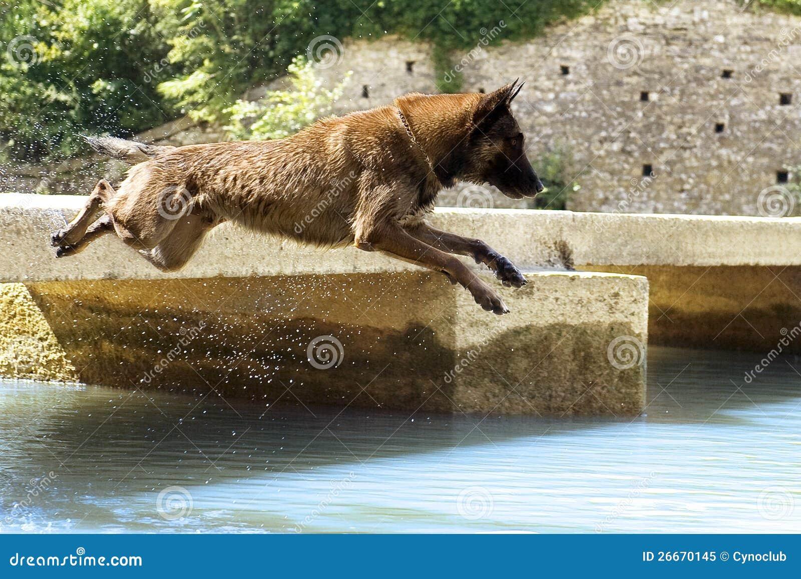 Malinois, das in den Fluss springt
