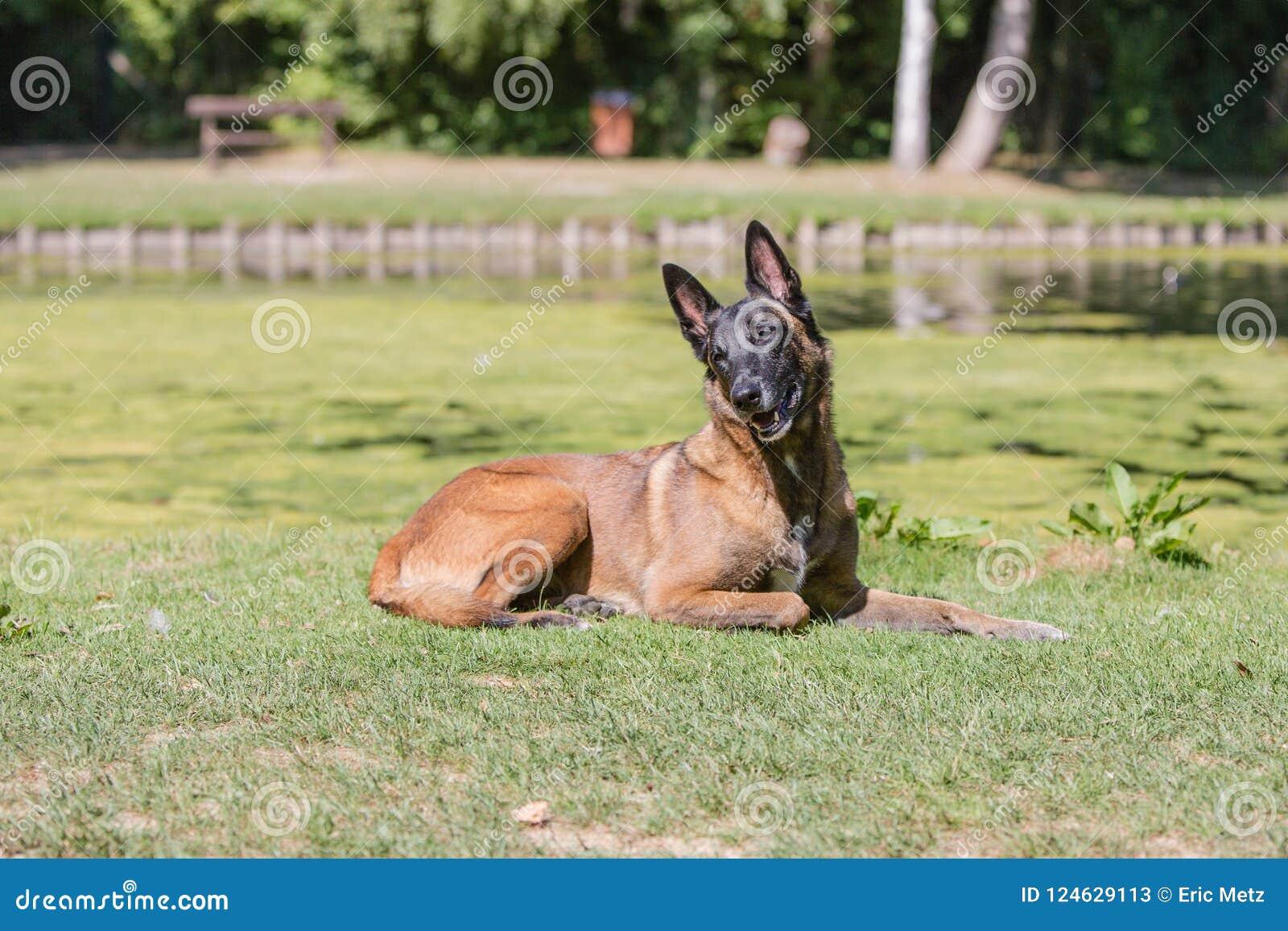 Malinois för typ för Belgien herdehund