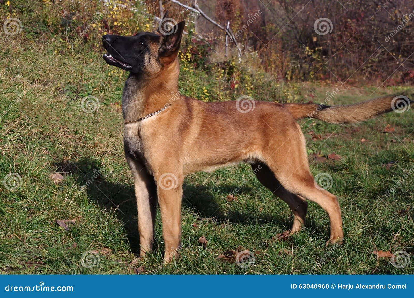 Malinois - pastore belga Dog