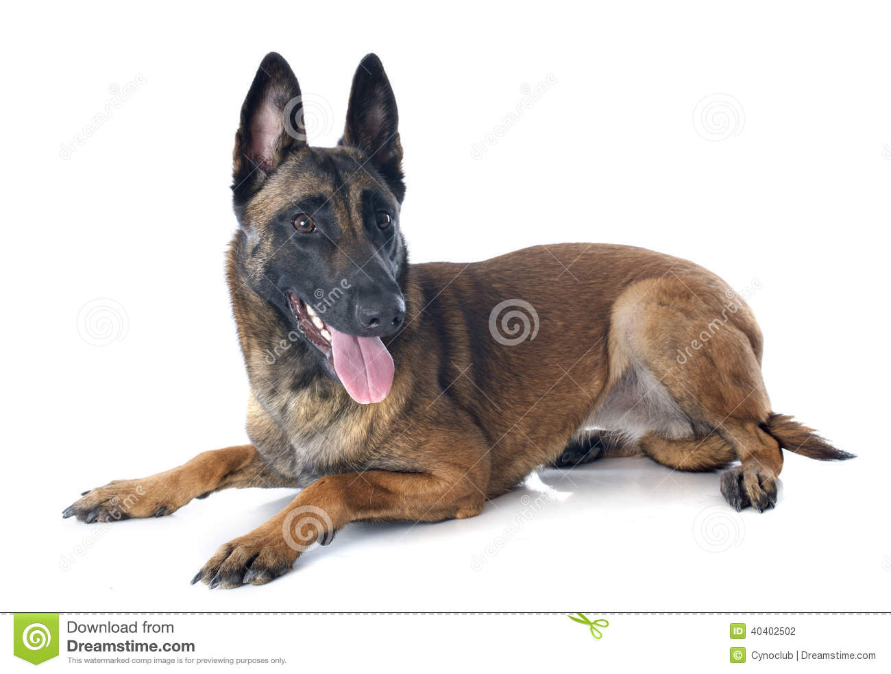 Belgian Malinois Pictures Photos Images Graphics   Dog ...
