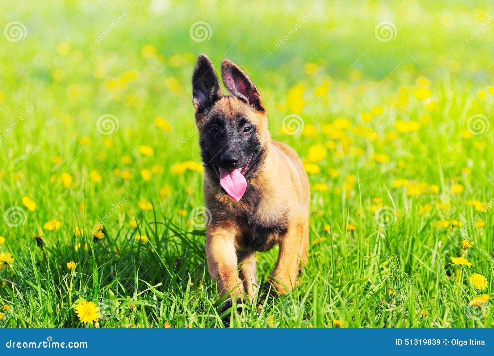 Malinois szczeniaka pies 4 miesiąca starego Belgijskiego sheepdog