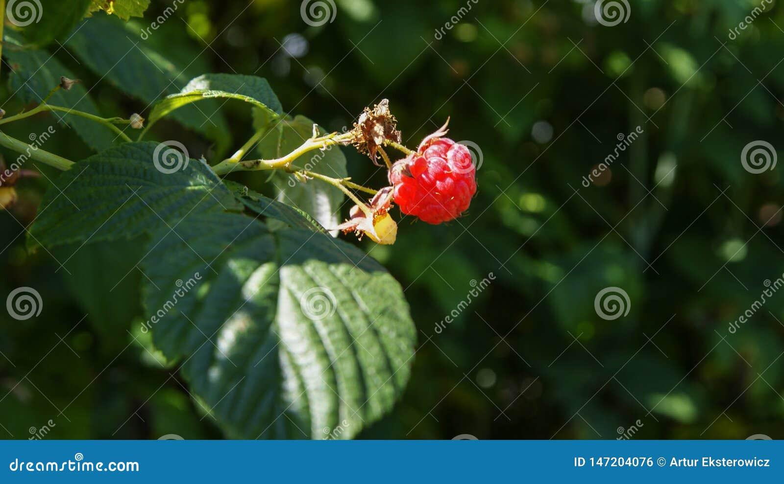 Malinowa owoc na krzaku