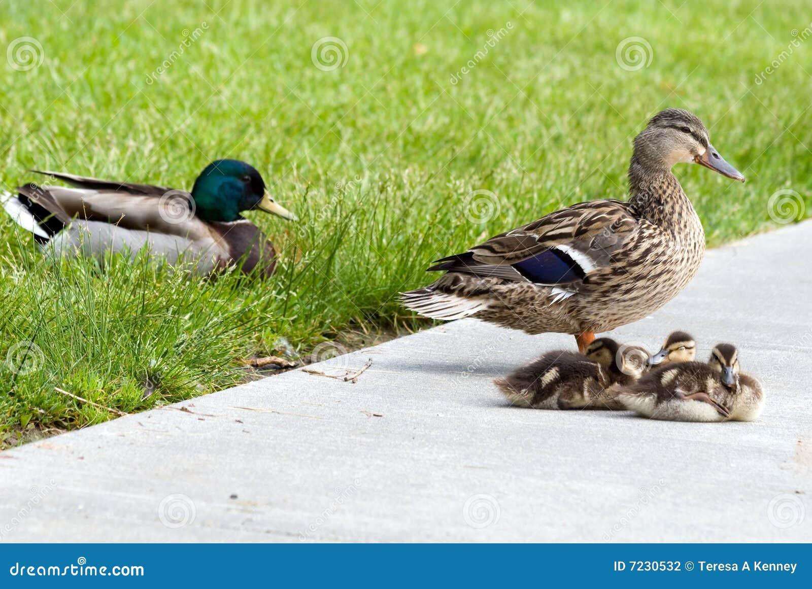 Mallard семьи утки