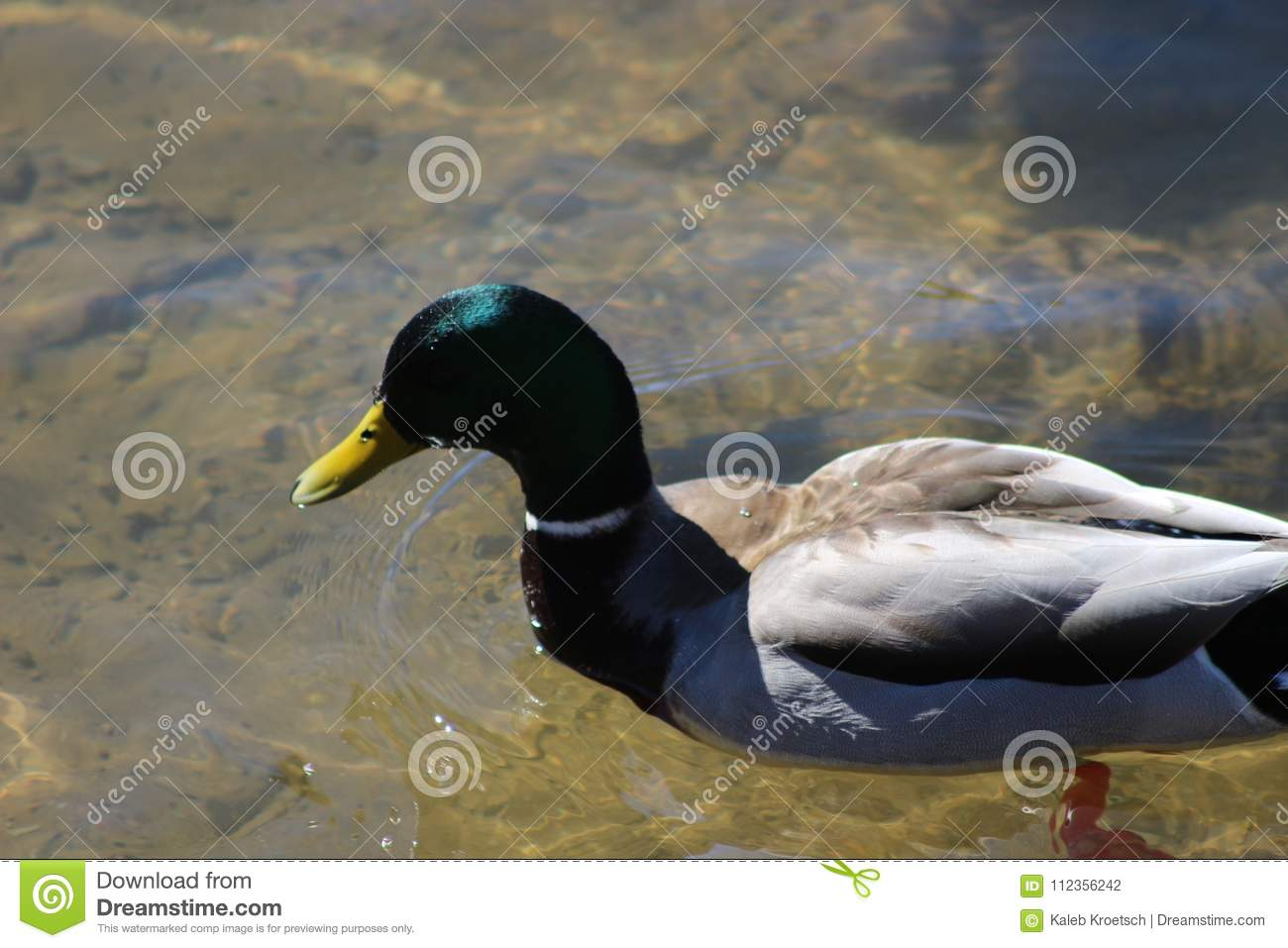 The Mallard Is A Dabbling Duck That Breeds Throughout The Temperate