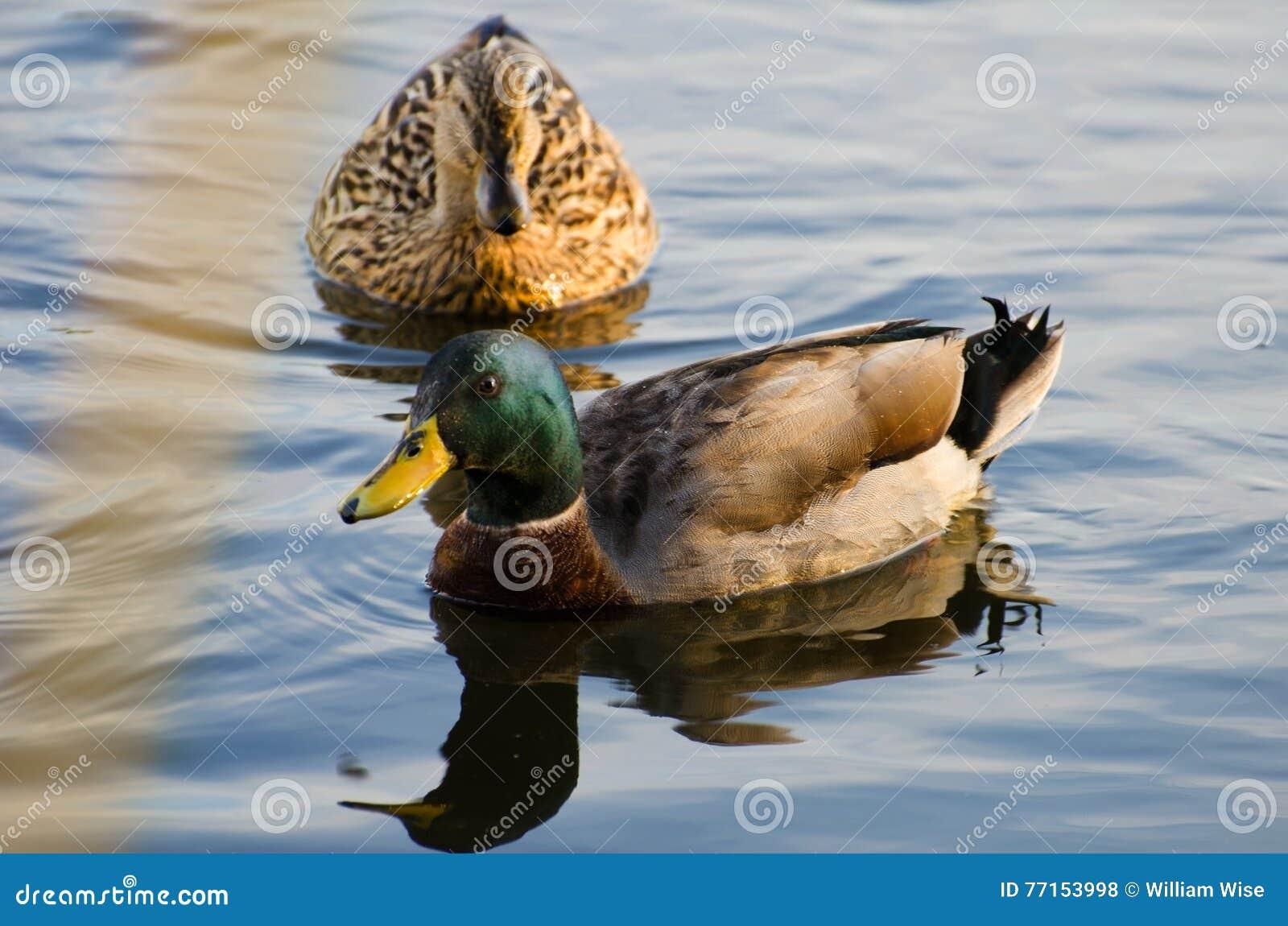 Mallard Drake et poule