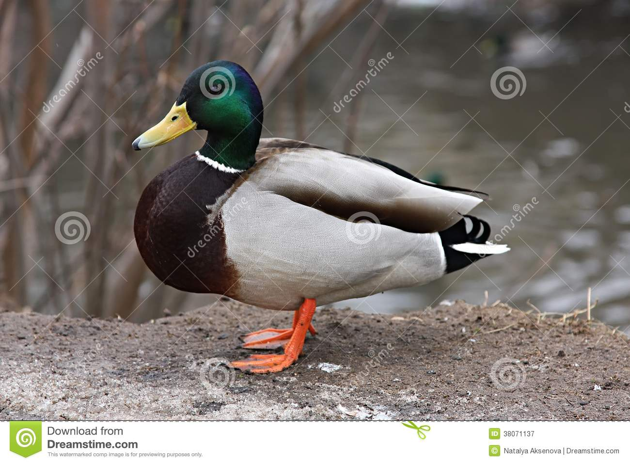 mallard duck drake stock photos images u0026 pictures 4 826 images