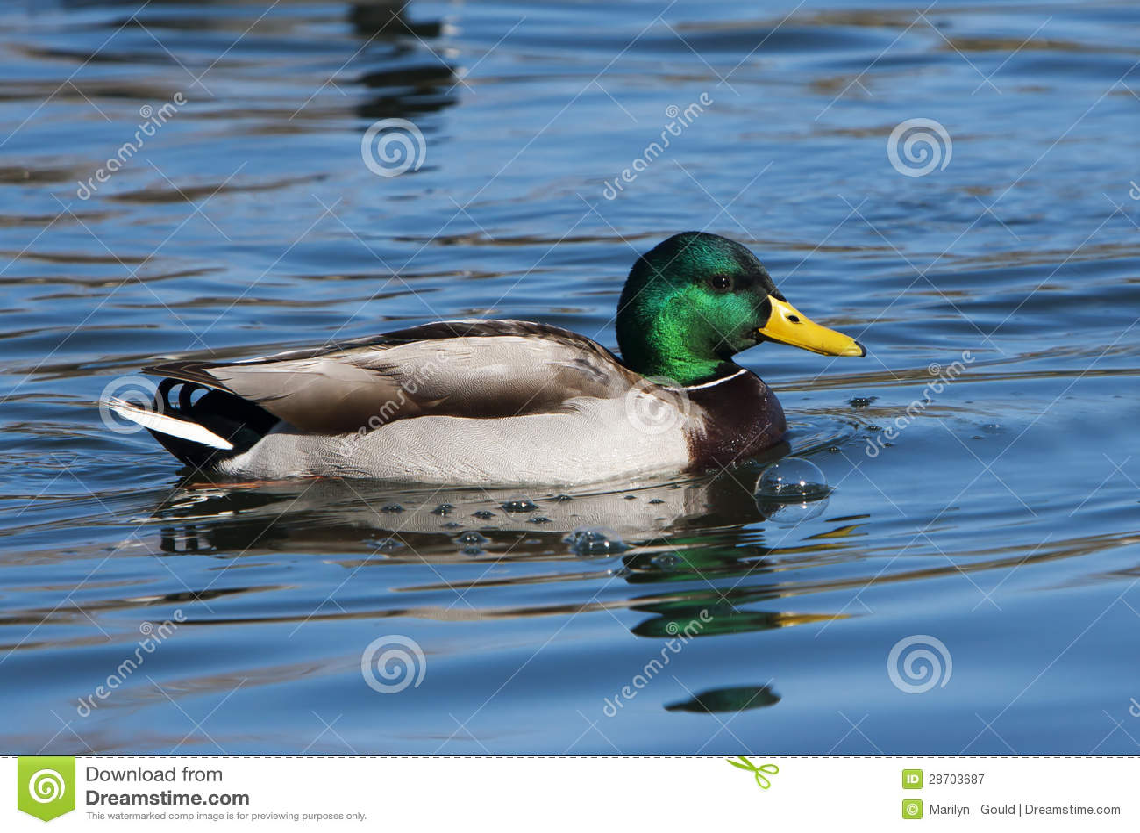 Mallard Duck Drake stock image. Image of poultry ...