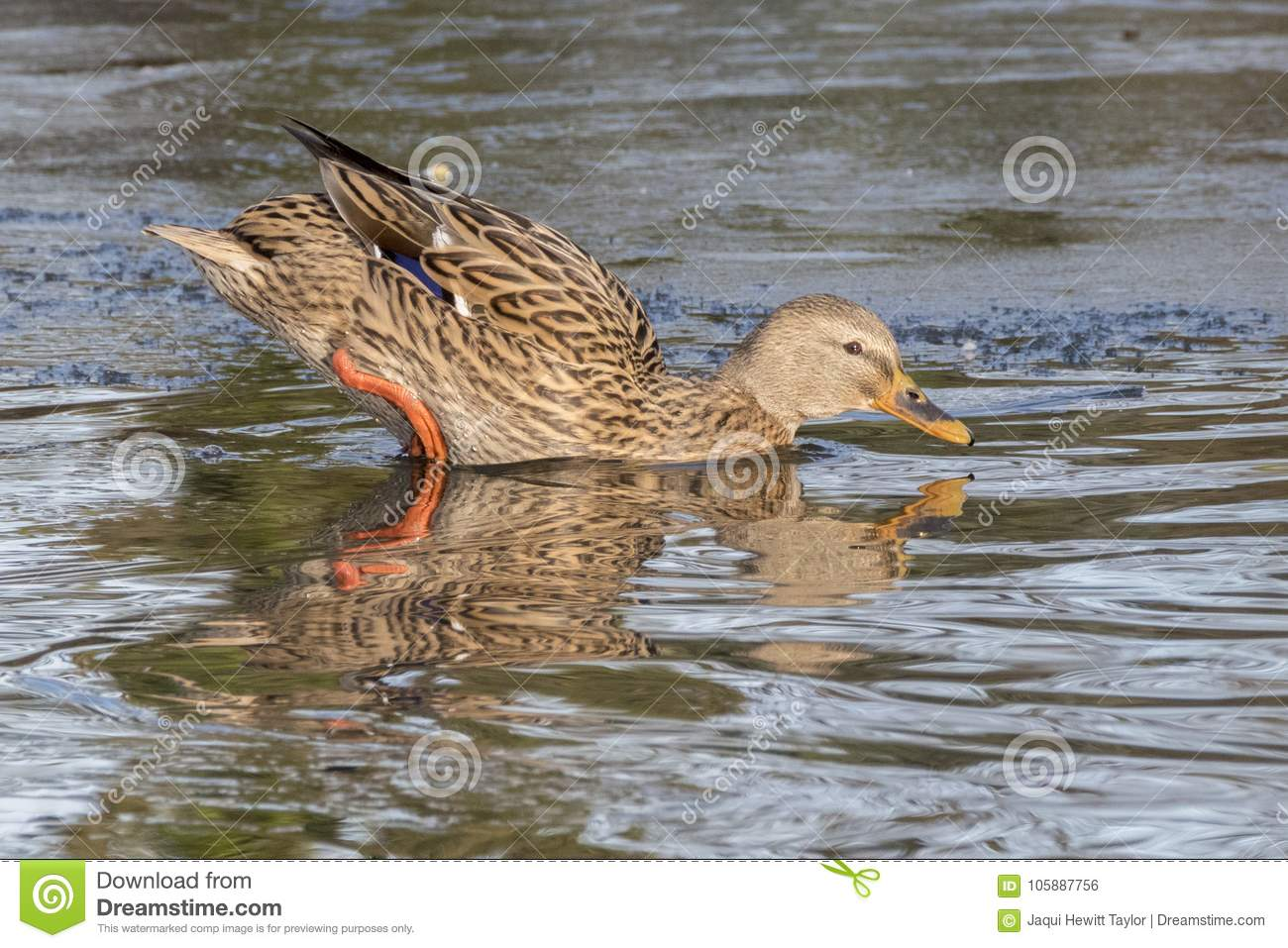 Download A Mallard Duck Entering The Icy Water Stock Photo - Image of female, reflected: 105887756