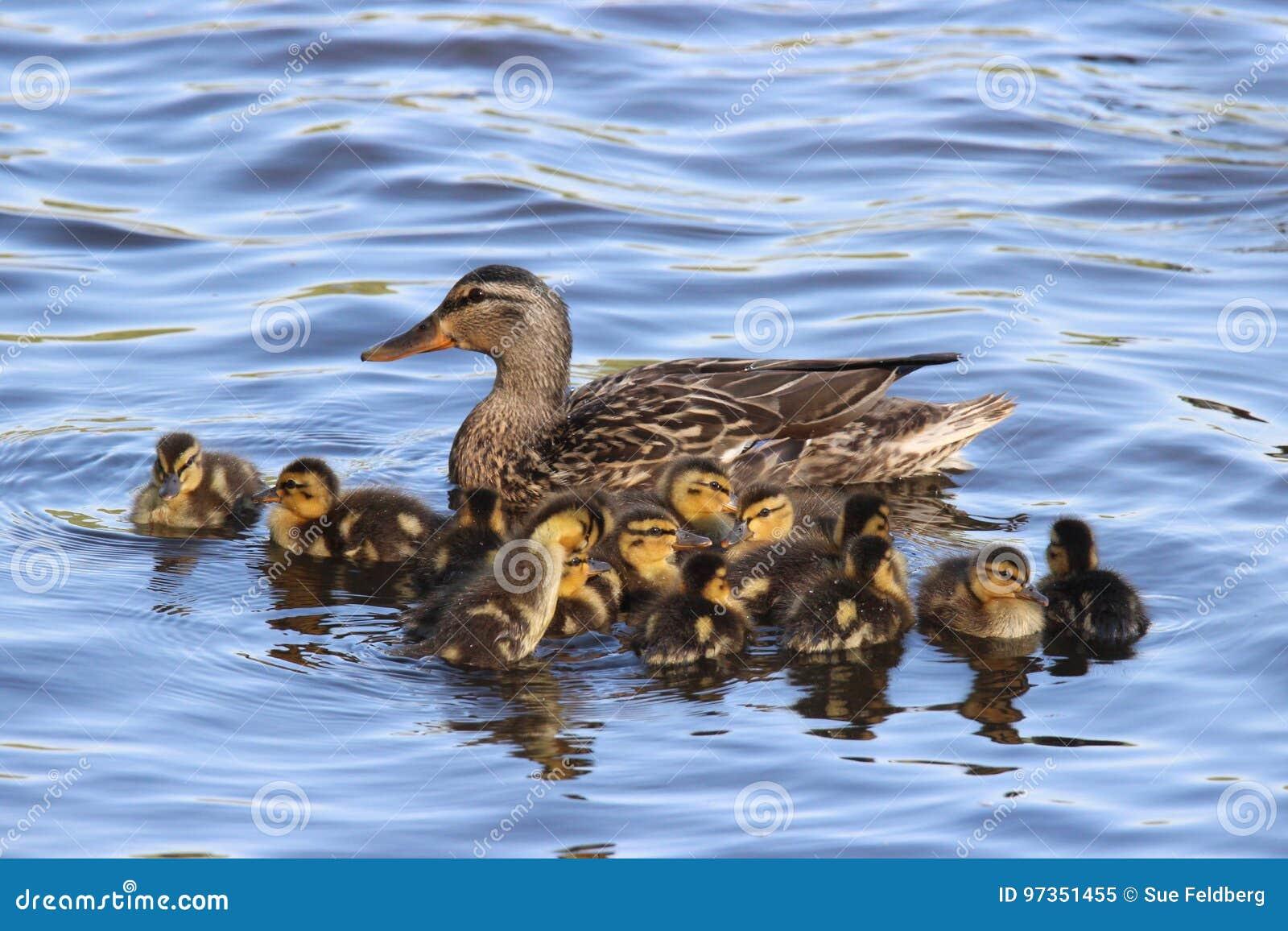 Mallard Duck Family Group
