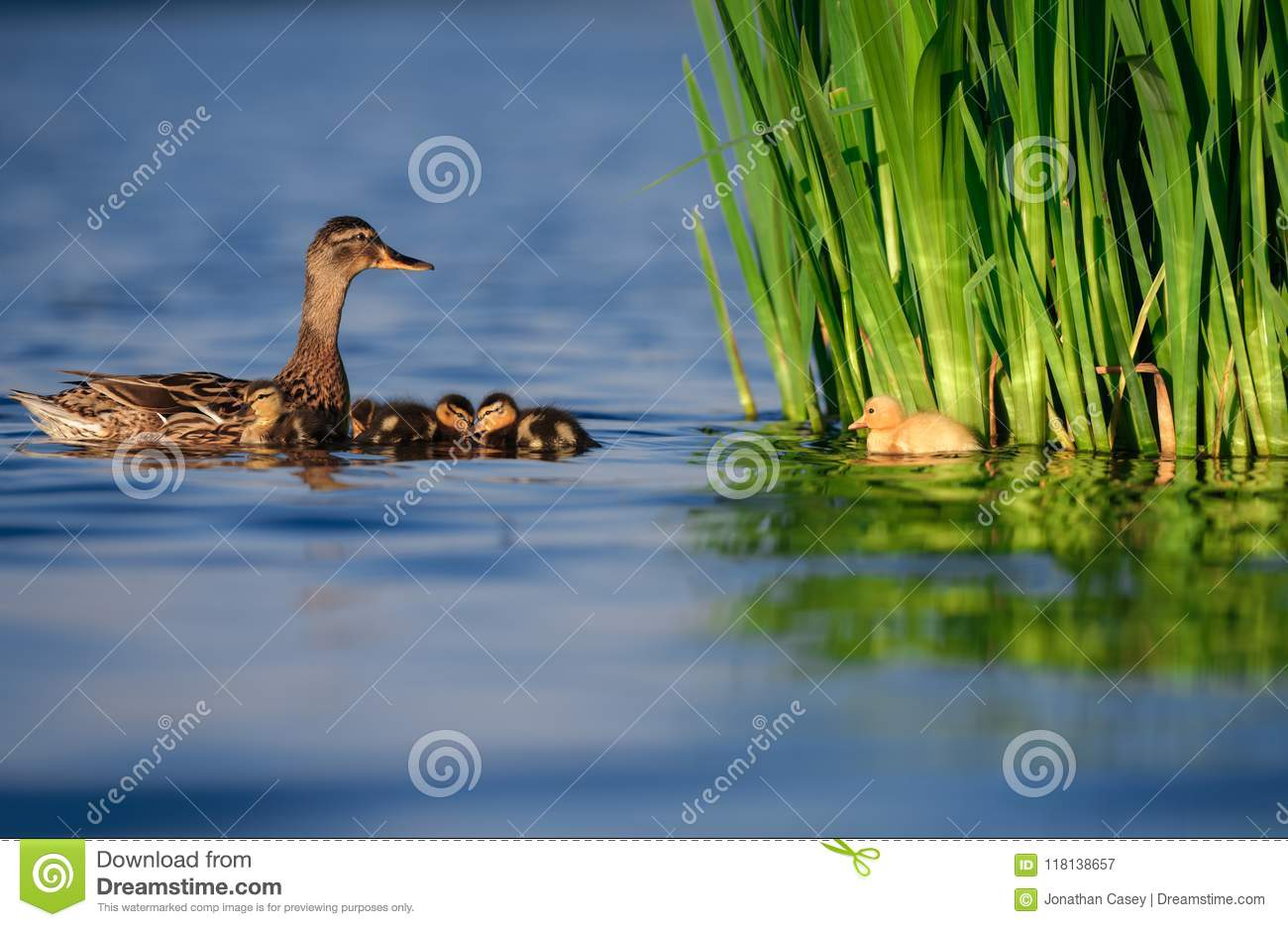 Mallard Duck Family with Yellow Duckling