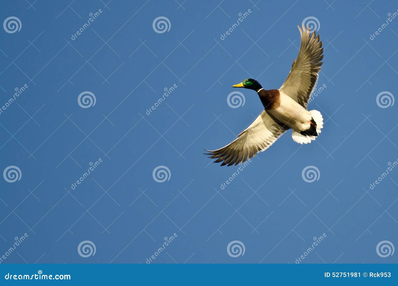 Mallard Duck Flying Alone nel cielo blu