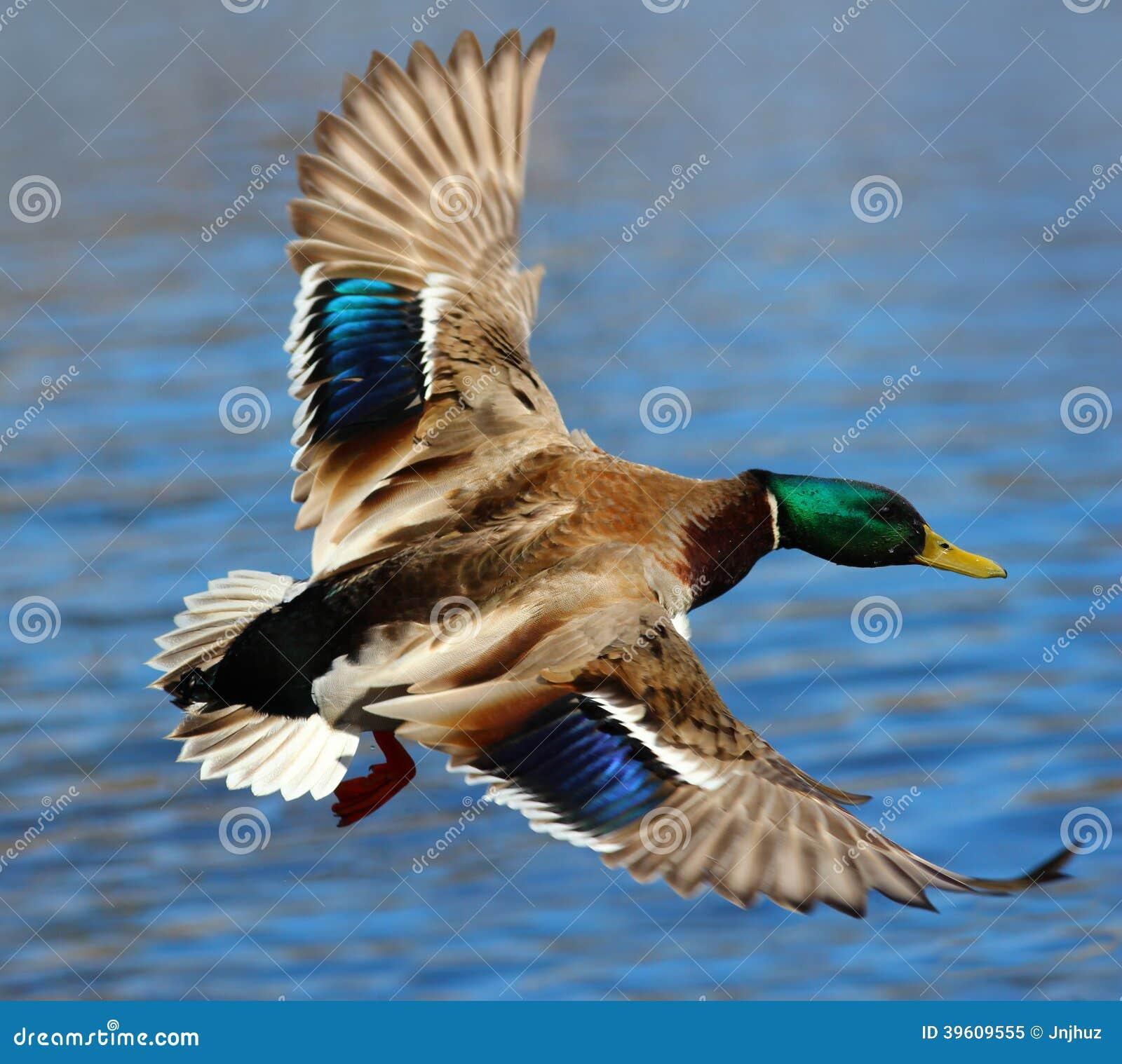 male mallard duck flying over water stock photo image 39609555