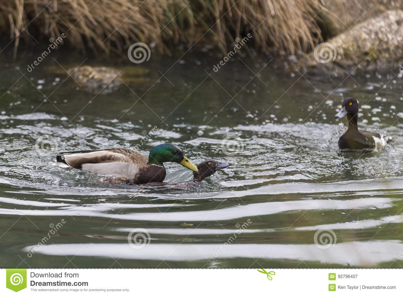 A Mallard duck forcibly mating a female Common Pochard