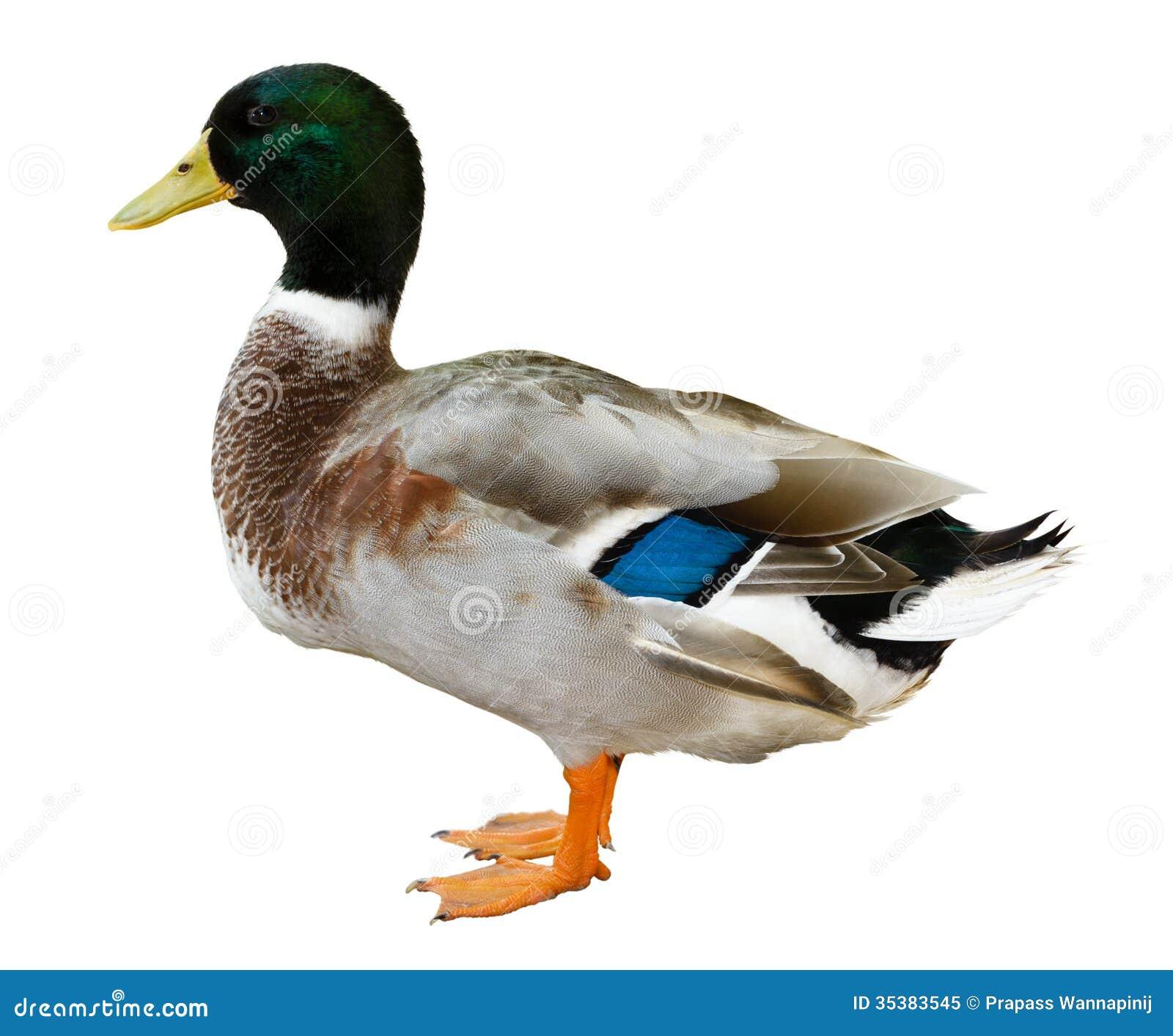 Mallard duck isolated