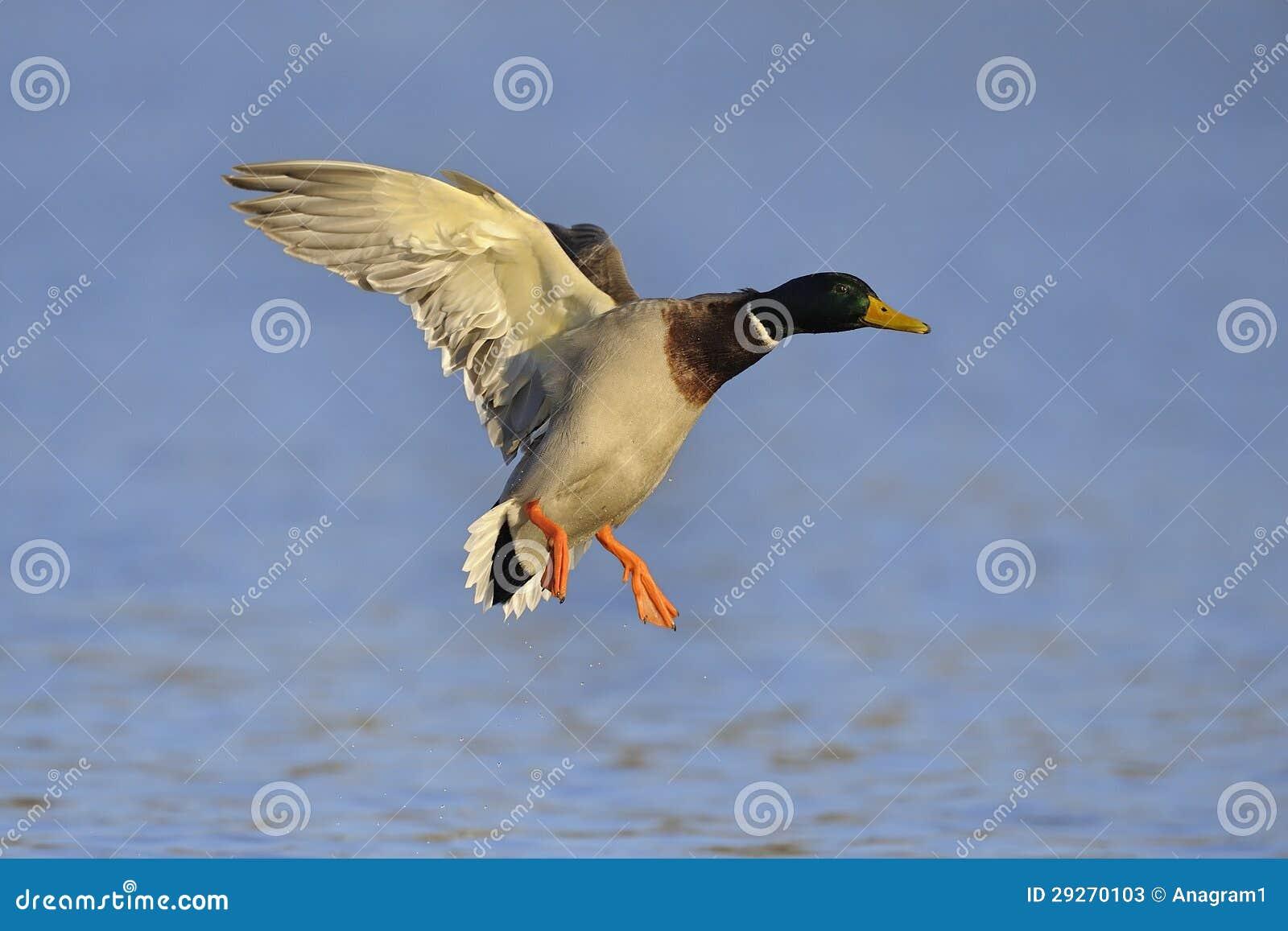 Mallard Duck Landing S...