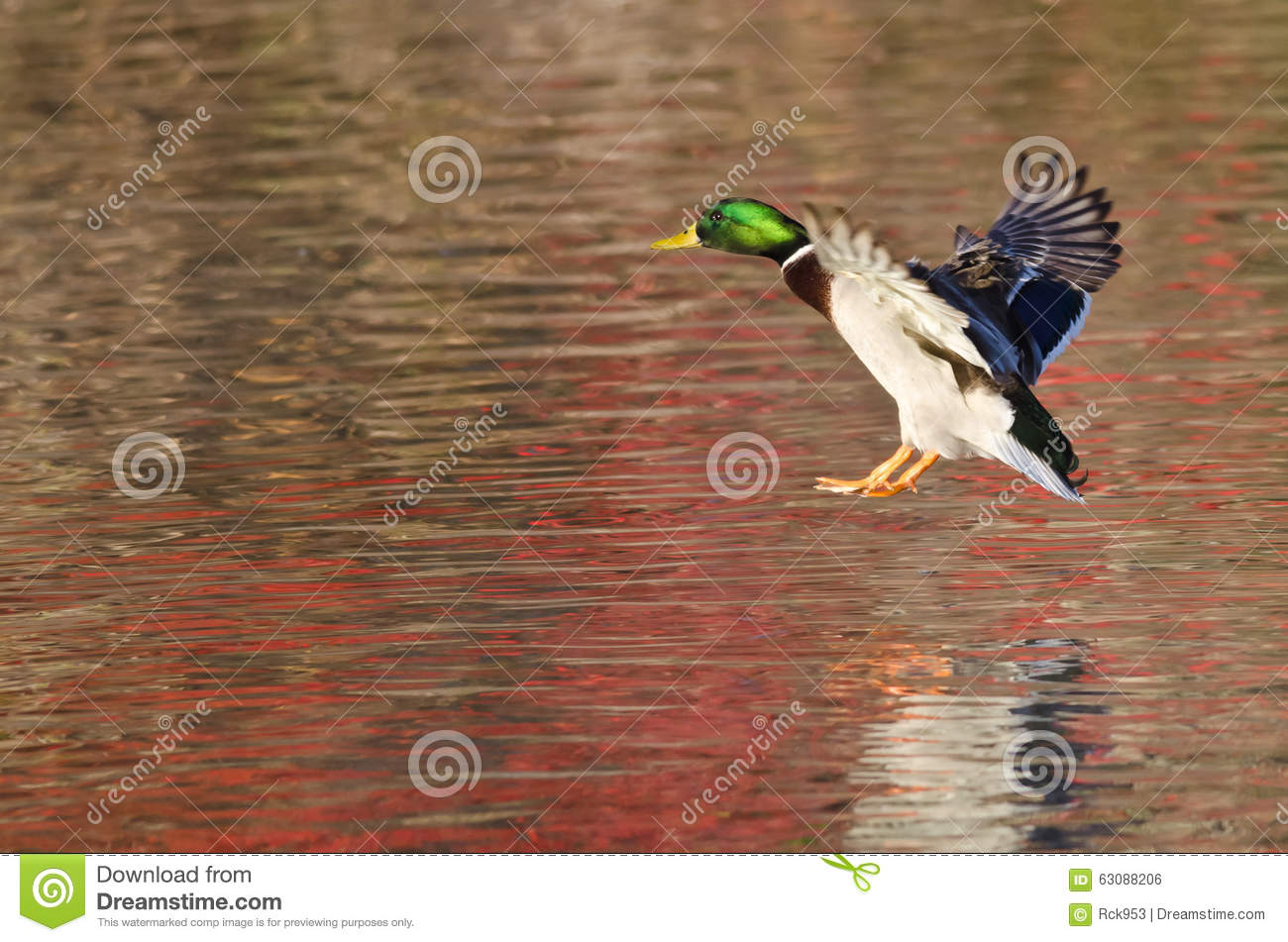 Download Mallard Duck Landing Sur Autumn Pond Photo stock - Image du d0, mâle: 63088206