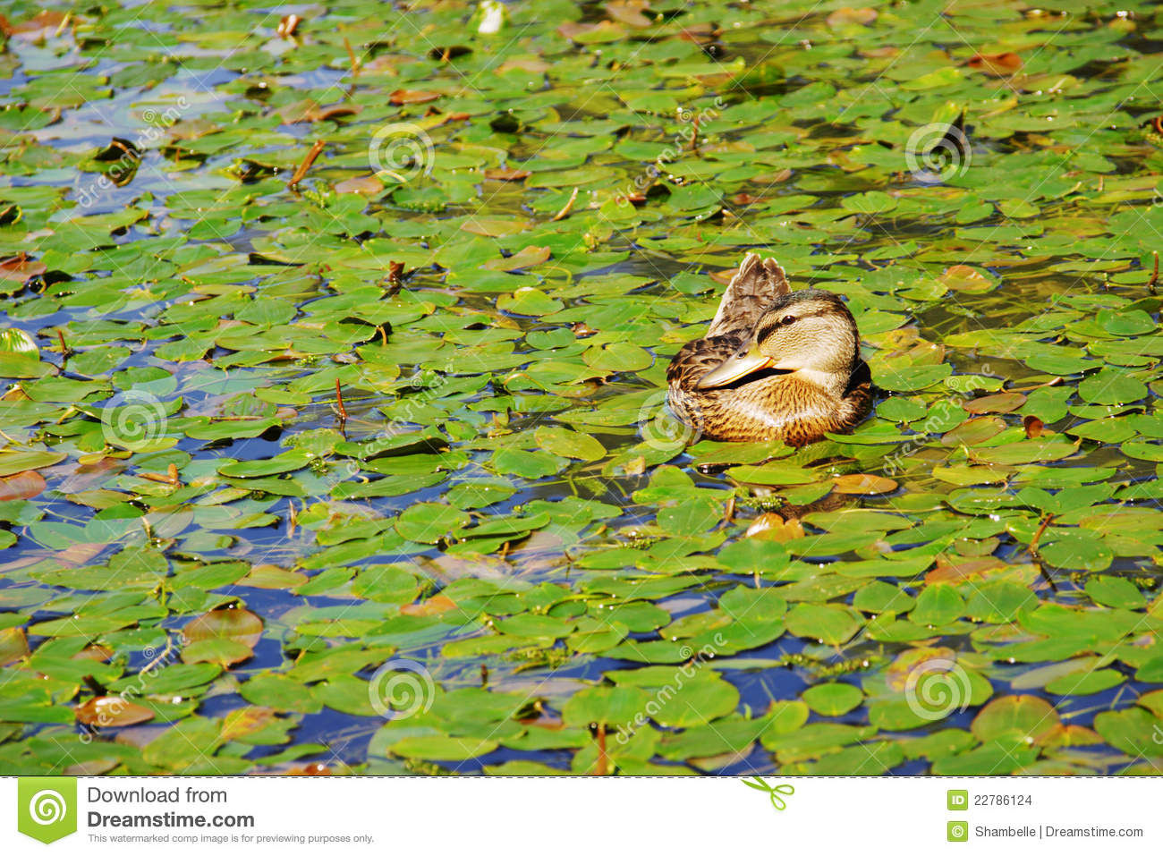Mallard duck on a pond surrounded by water lilies stock for Duck pond water