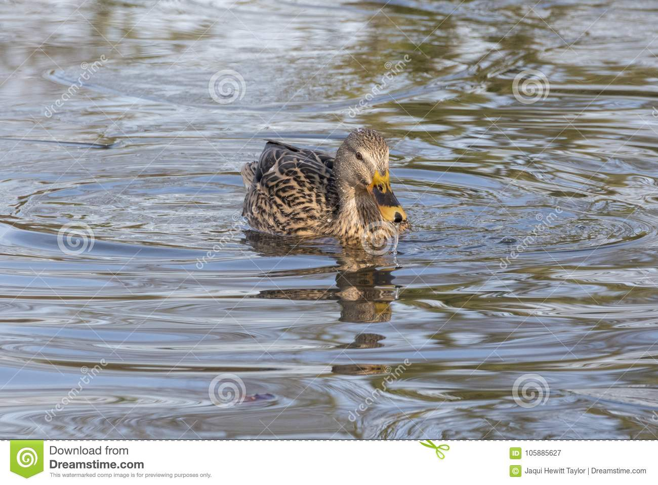 A mallard duck swimming in an icy pond